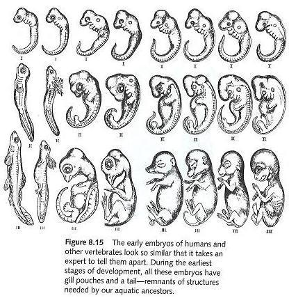 Haeckel_Anthropogenie_1874.jpg