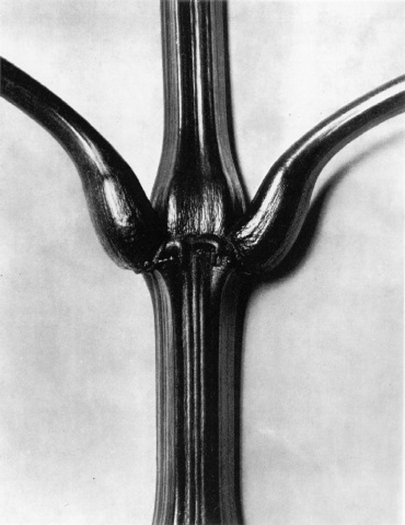 karl-blossfeldt-indian-balsam-1928.png
