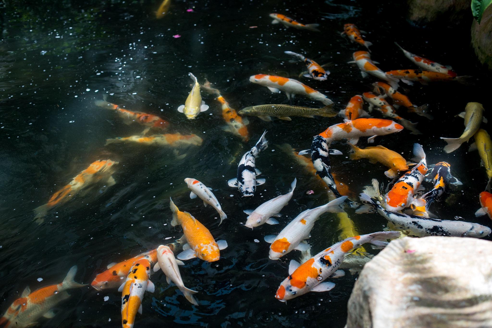 Koi Pond   Garden Wing - Shangri-La Hotel, Singapore
