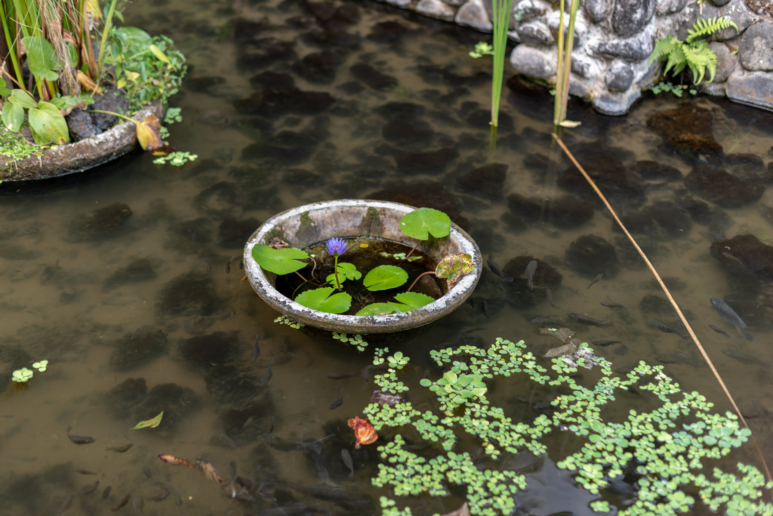 Fishes in Lotus Pond  Pool Villa - Alila Ubud