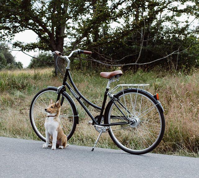 Dog days of summer  #lochsidecycles #stepthrough #cruiserbike #bikeride #yyj #citybike #5speed #urbanbiking