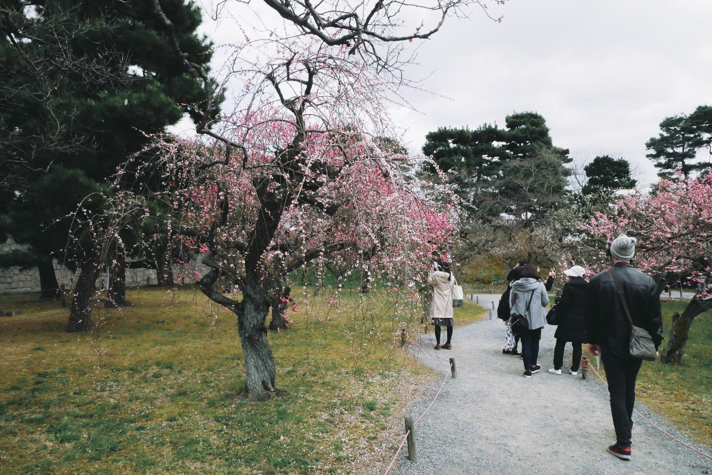 Cherry Blossoms at Nijo Castle, Kyoto