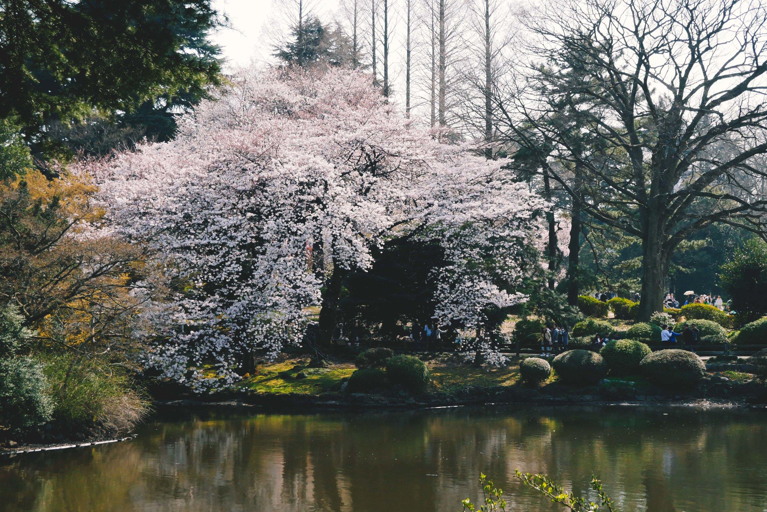 Cherry blossom tree at Shinjuku Gyoen, Tokyo.