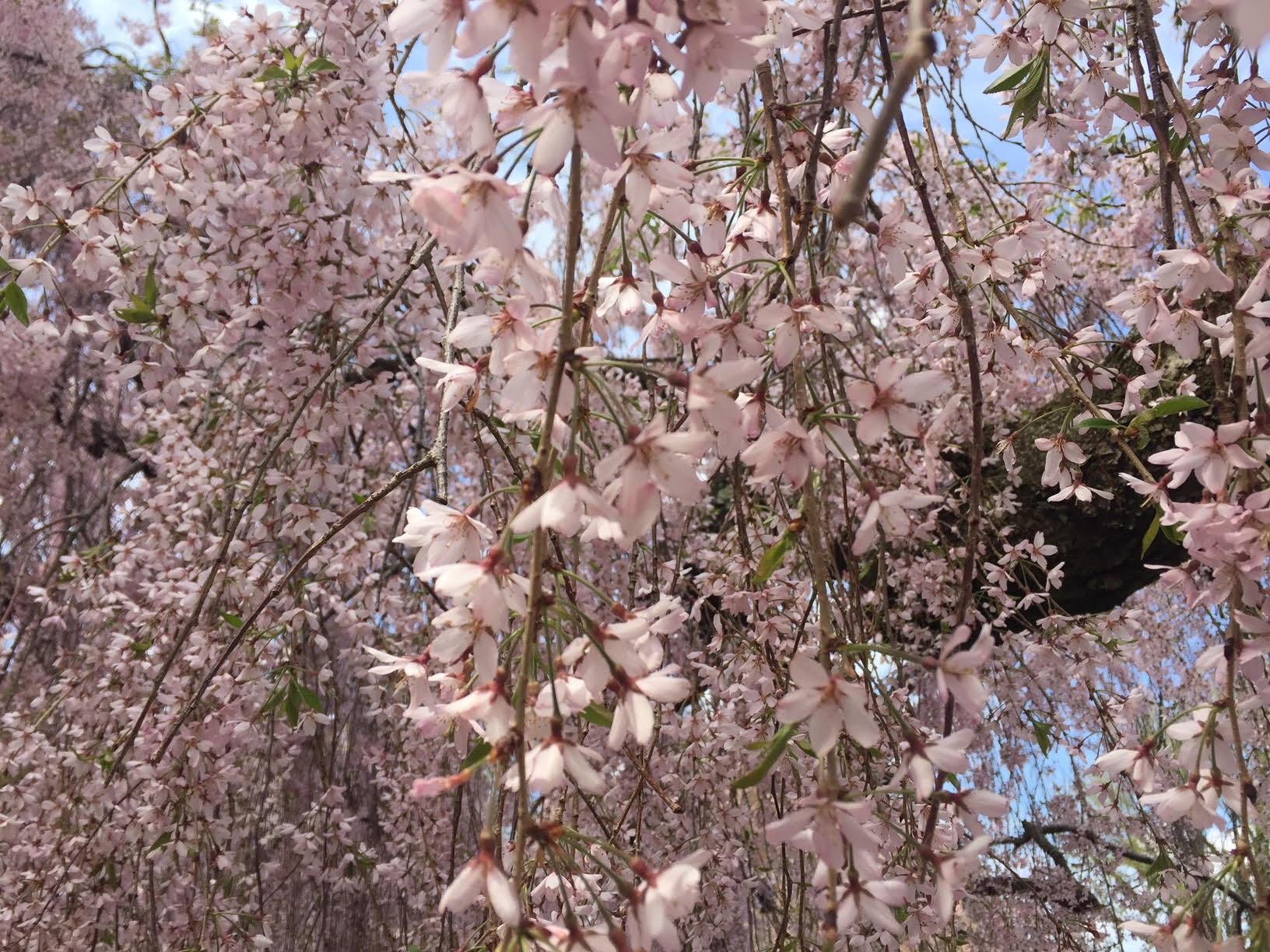 Cherry blossoms (Sakura) in Philadelphia - April 2019