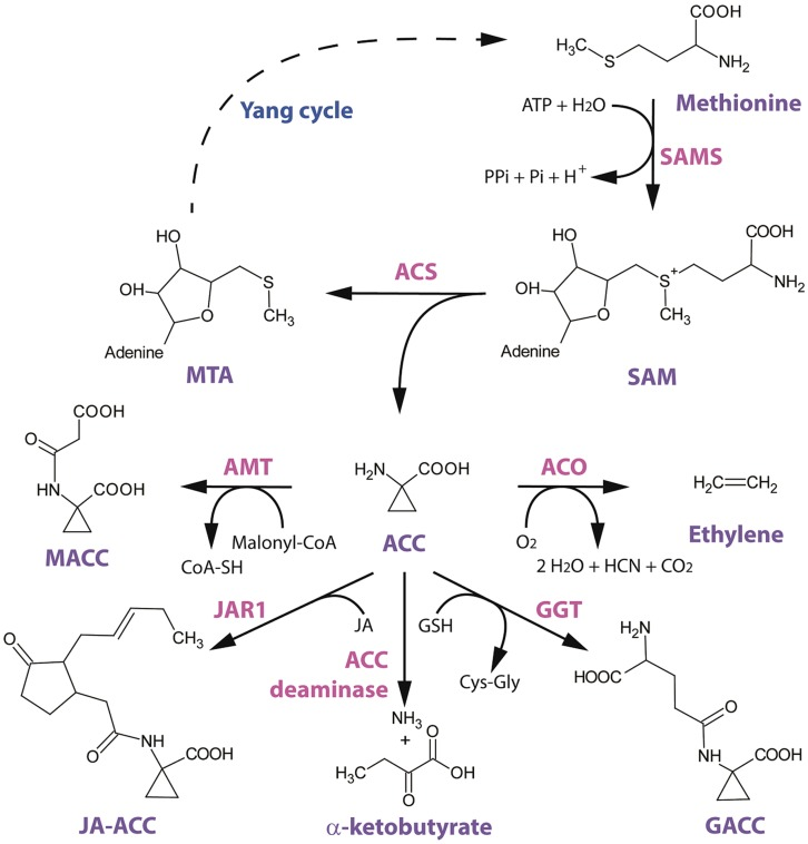 Structural scheme of ethylene biosynthesis and 1-aminocyclopropane-1-carboxylic acid (ACC) conjugation/metabolism.  Image reference: 2014 Van de Poel and Van Der Straeten.