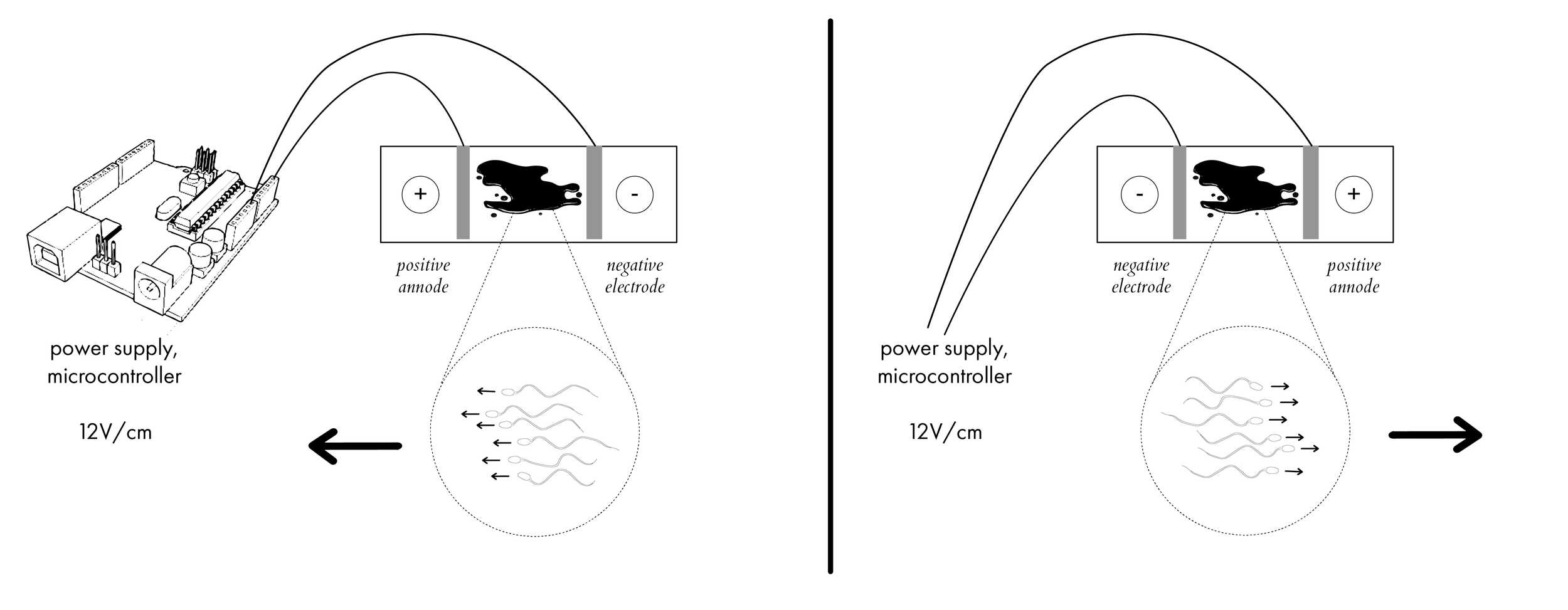 Diagram to show electrophoretic effect on sperm. Sperm will move towards the negatively charged cathode at 12V/ cm.