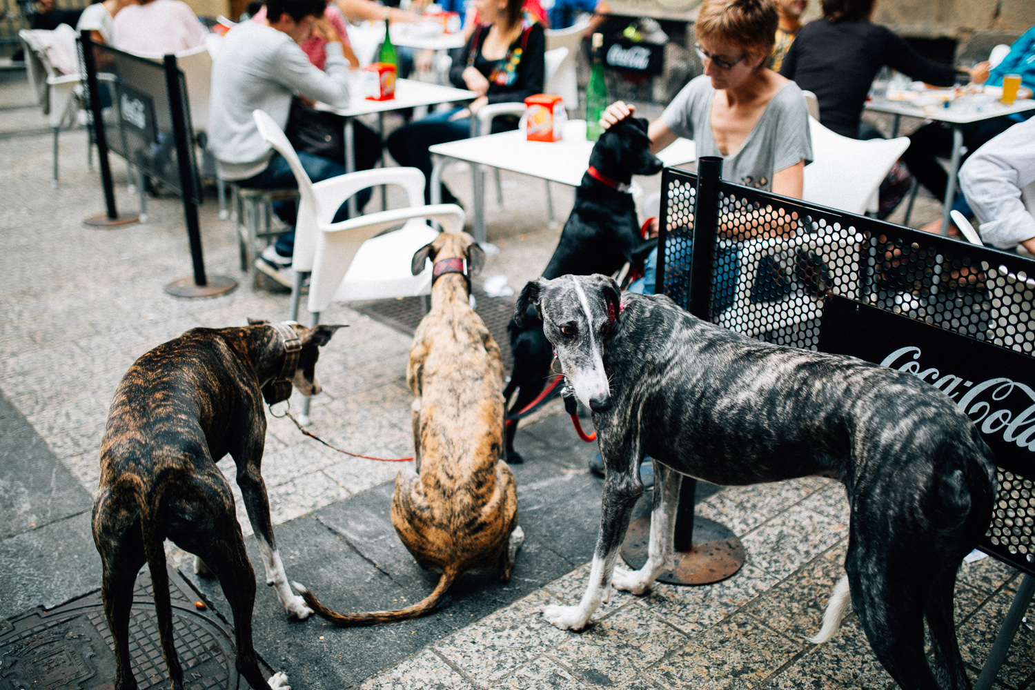Almost everybody has a Galgo in Donostia
