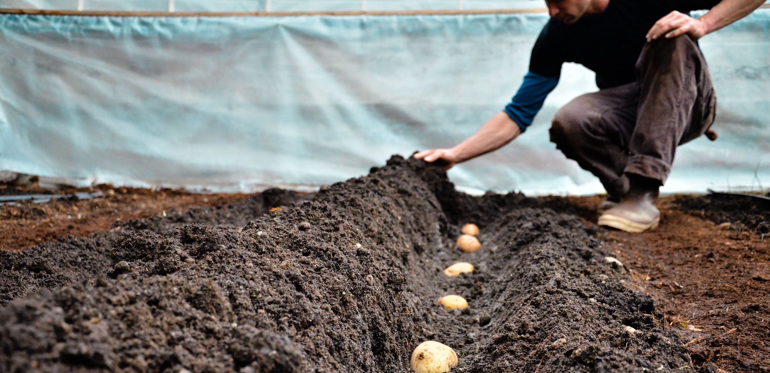 Seattle Urban Farm Company_Colin McCrate_Planting Potatoes