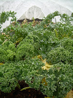 """Living, covered """"winter crops"""" (scotch kale)"""