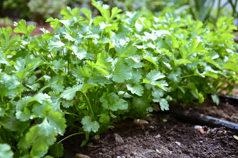 Encyclopedia Botanica Podcast, Episode 4: Cilantro — Seattle Urban ...