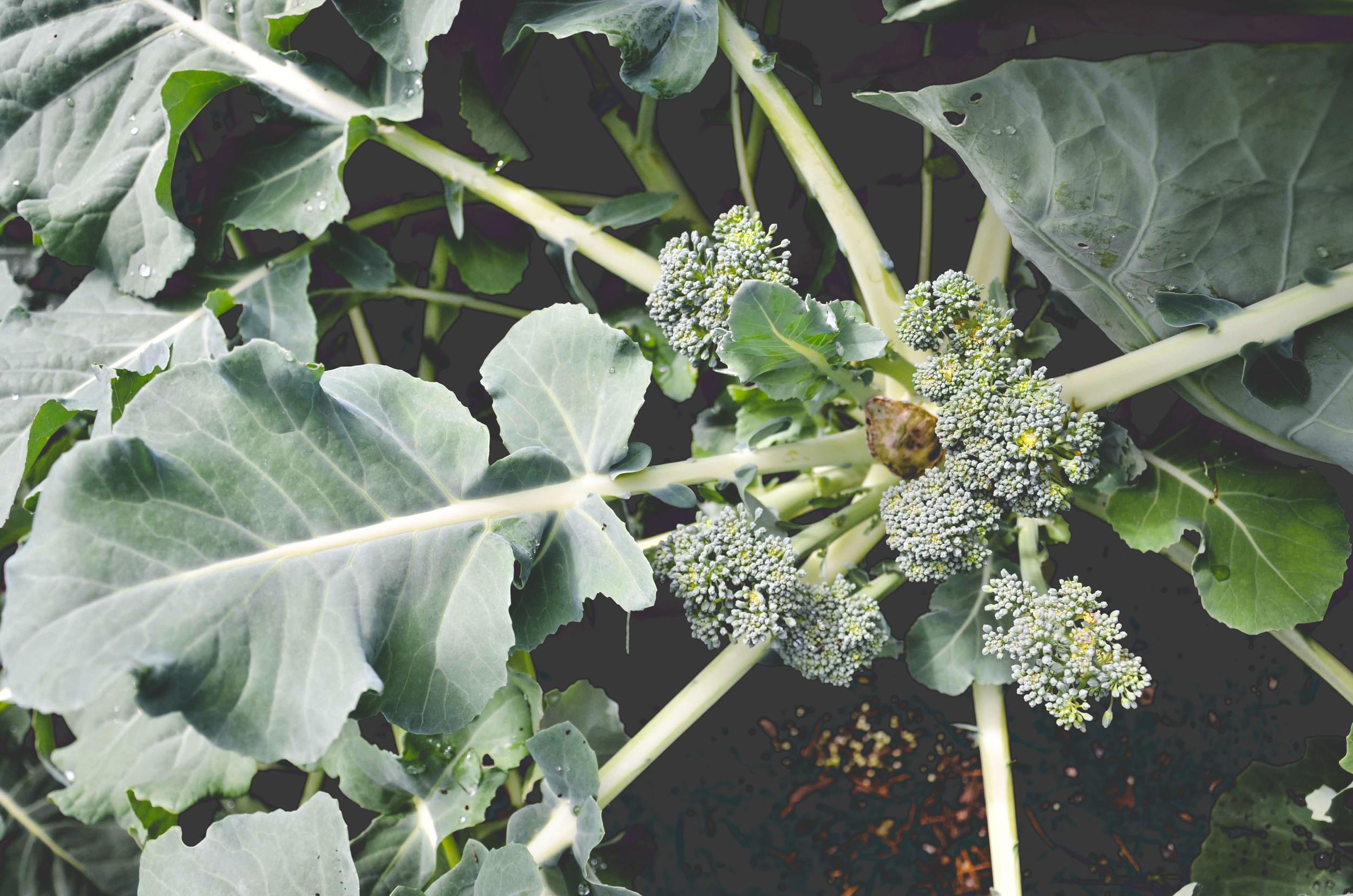 Broccoli_Florets_blog_H.jpg