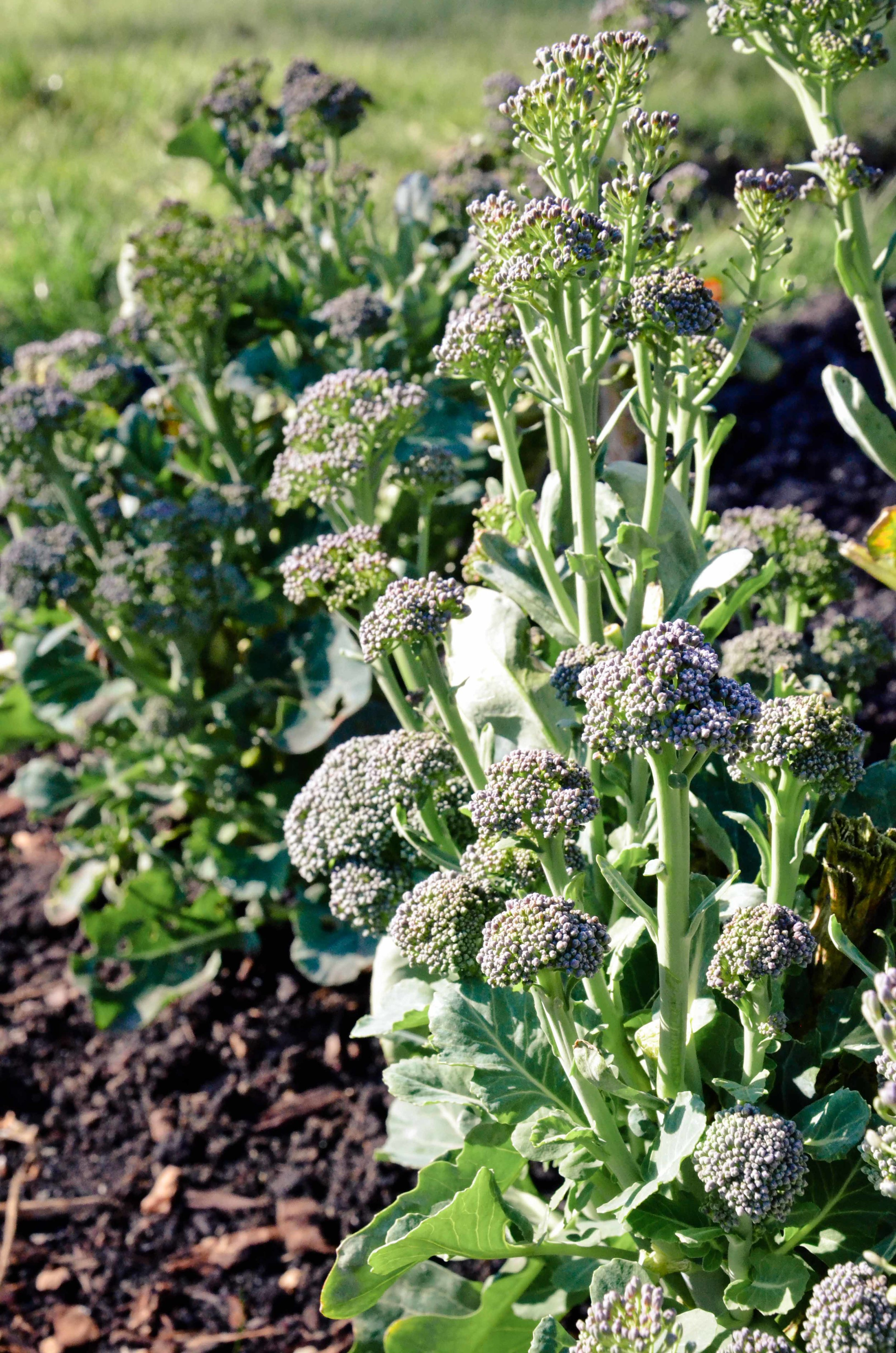 Overwintered broccoli sending out florets in March.