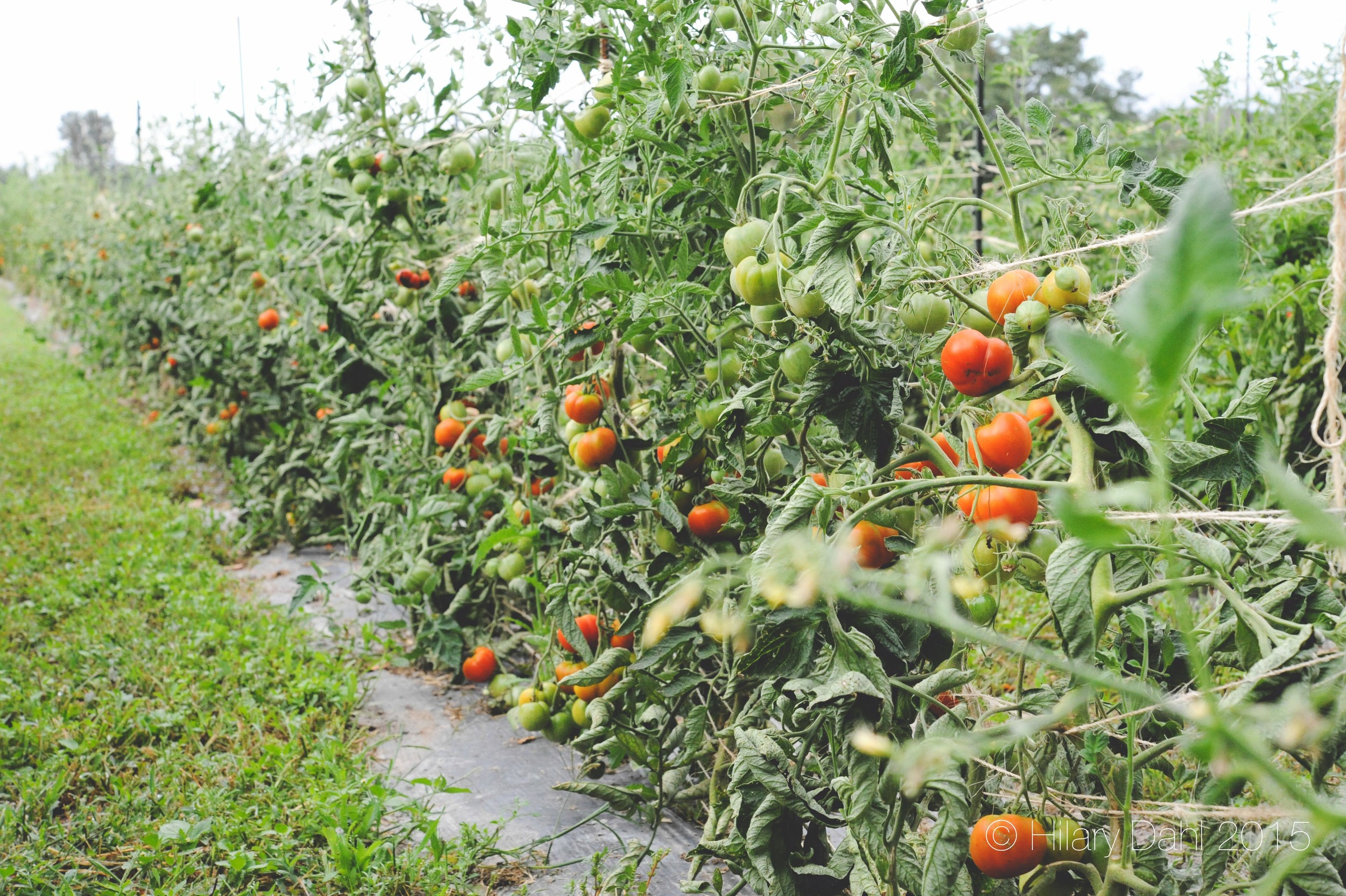 Tomatoes on a t-post and twine trellis