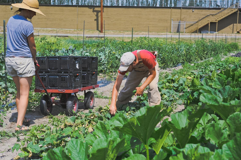 Urban Fringe Farm_Harvesting_Restaurant Farm_Seattle Urban Company.jpg