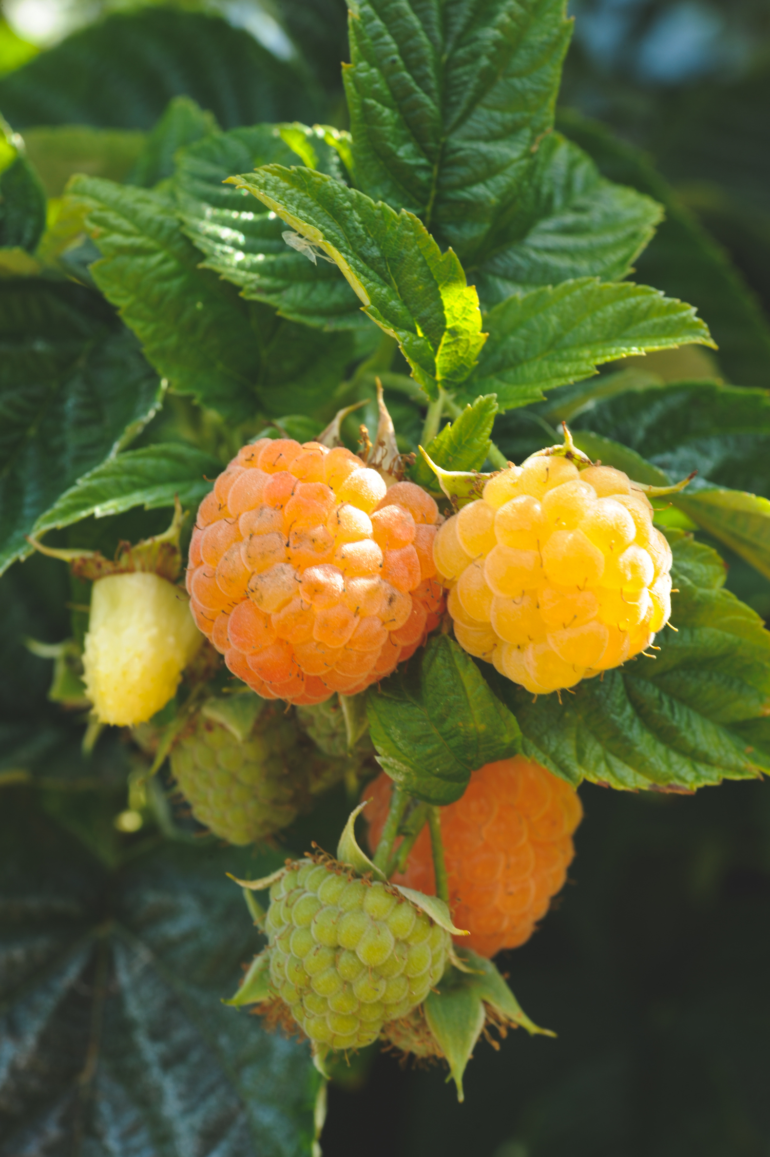 South Seattle Edible Landscape_Seattle Urban Farm Company_Golden Raspberries.jpg