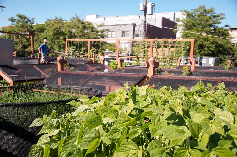 Bastille Rooftop_Restaurant Vegetable Garden_Seattle Urban Farm Company.jpg