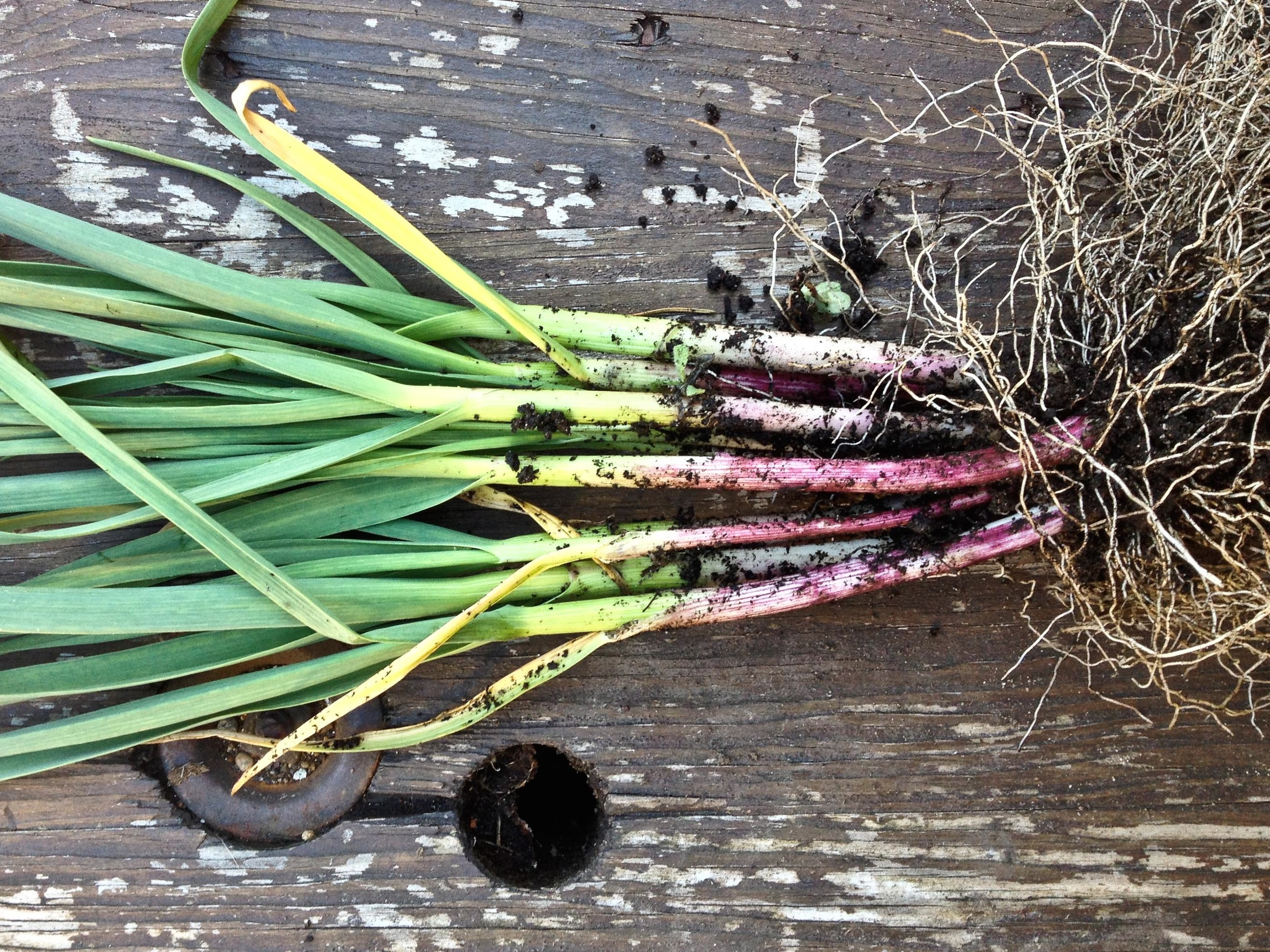 Harvested green garlic // All photos by Hilary Dahl