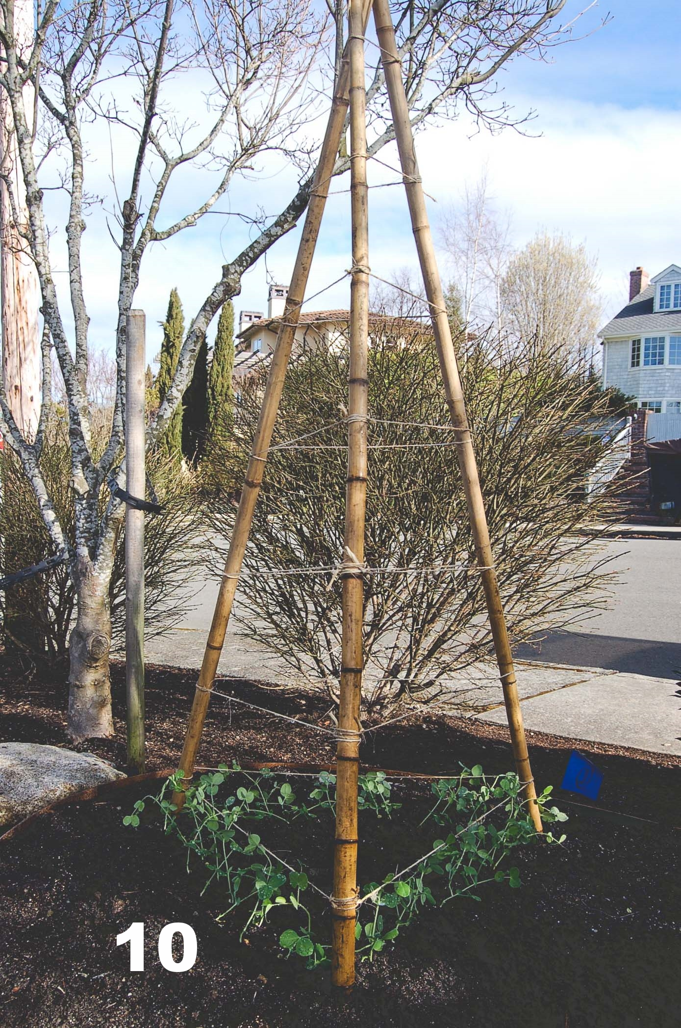 How to build a Bamboo Pea Tri-Pod by Seattle Urban Farm Co.