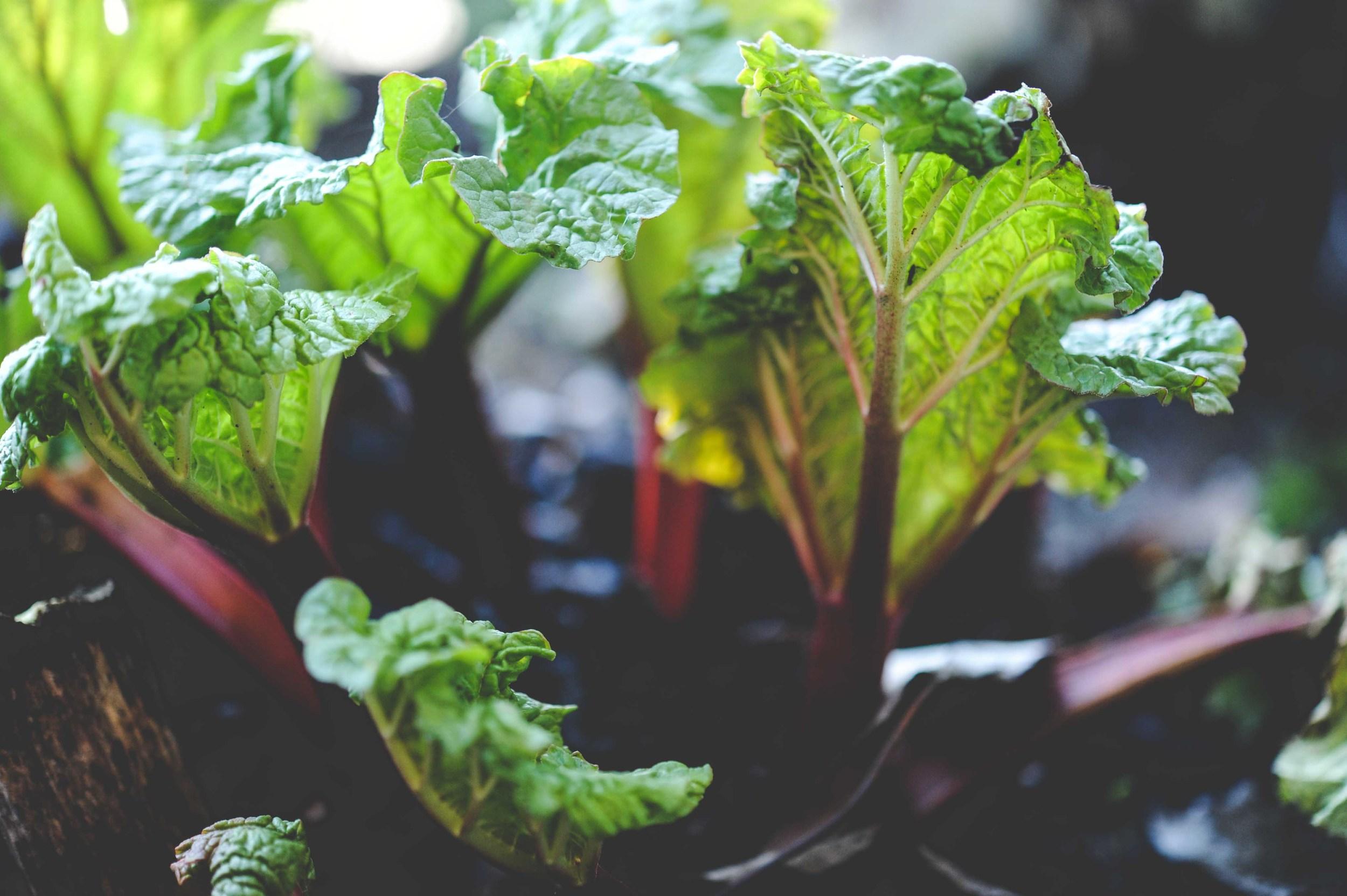 emerging rhubarb_photo by Seattle Urban Farm Co