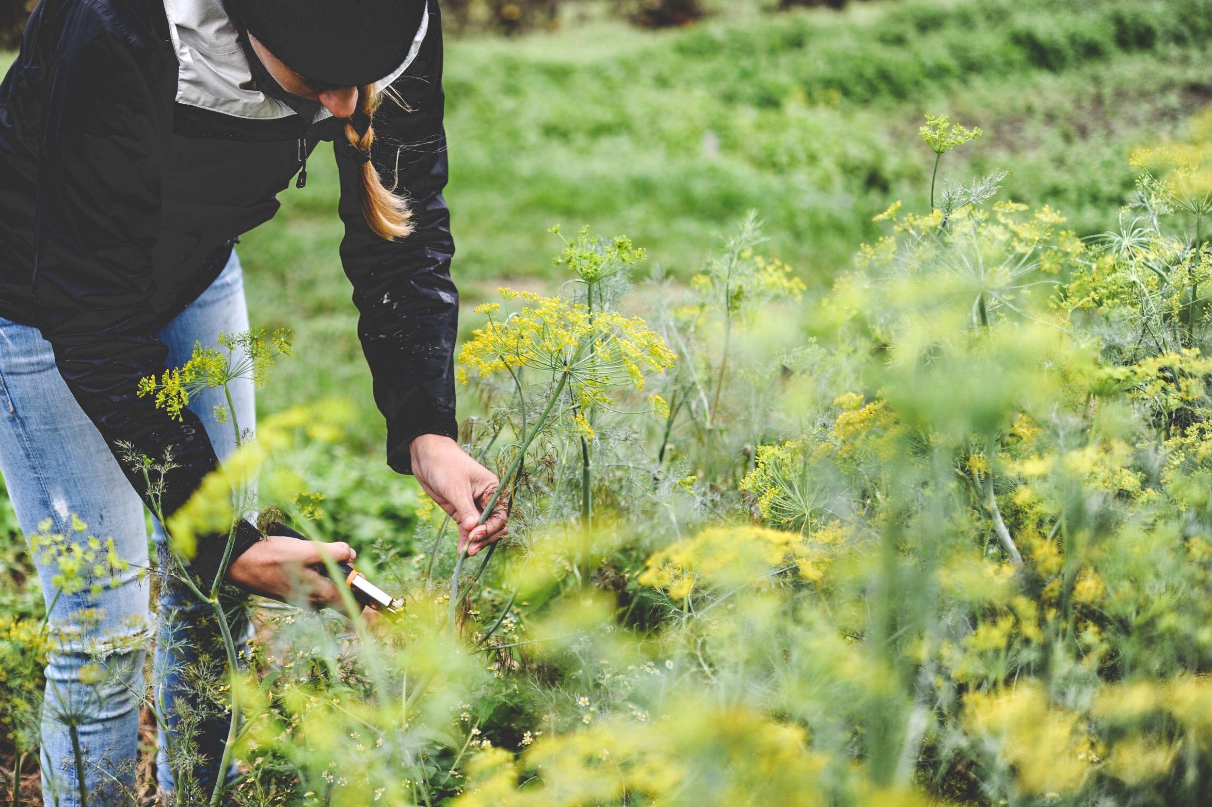 Harvesting Dill_Urban Fringe Farm_Seattle Urban Farm Co.
