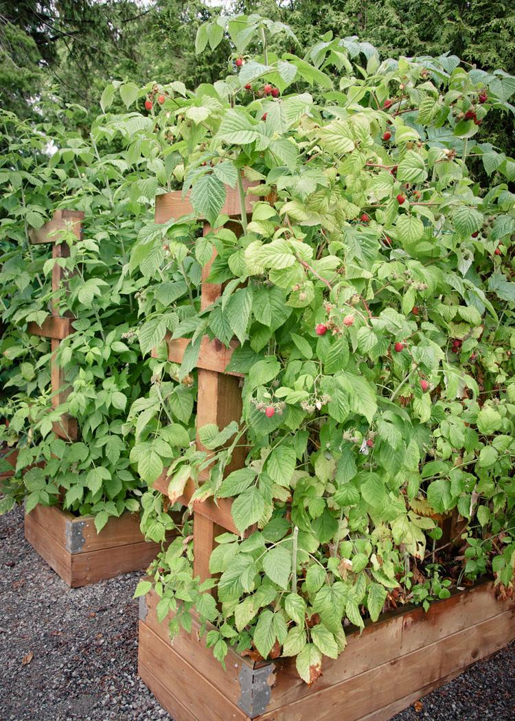 Raspberry Trellis Summer.jpg