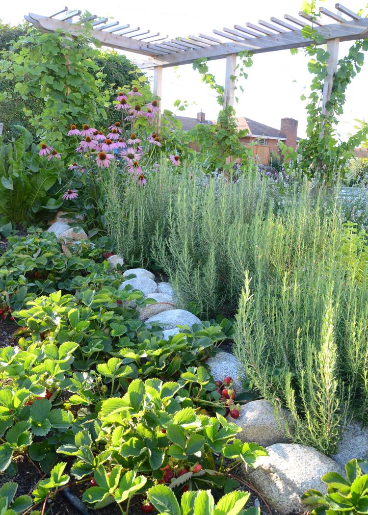 Schwade- Strawberries, Rosemary, Echinacea, Trellis.jpg