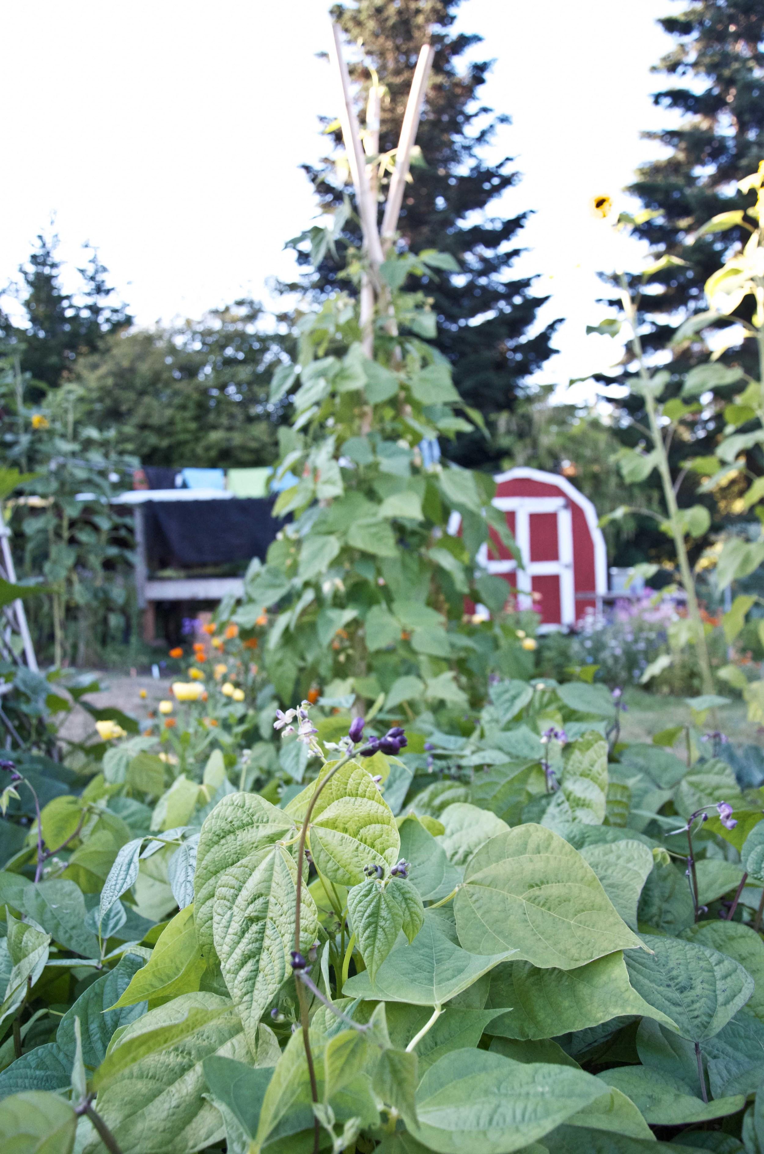 beans- bush and pole.jpg