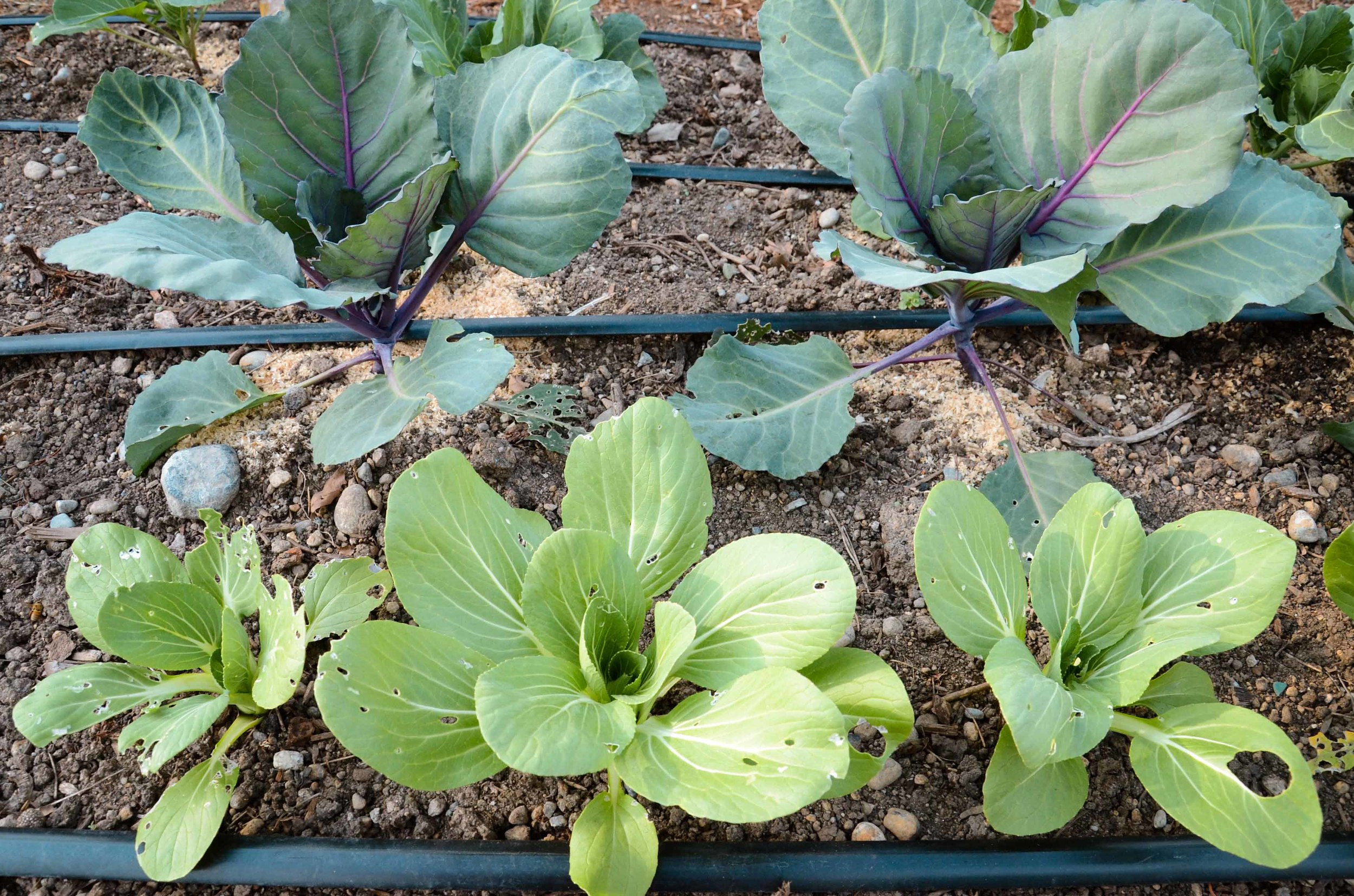 Imported Cabbage Worm damage on cabbage // All photos by Hilary Dahl
