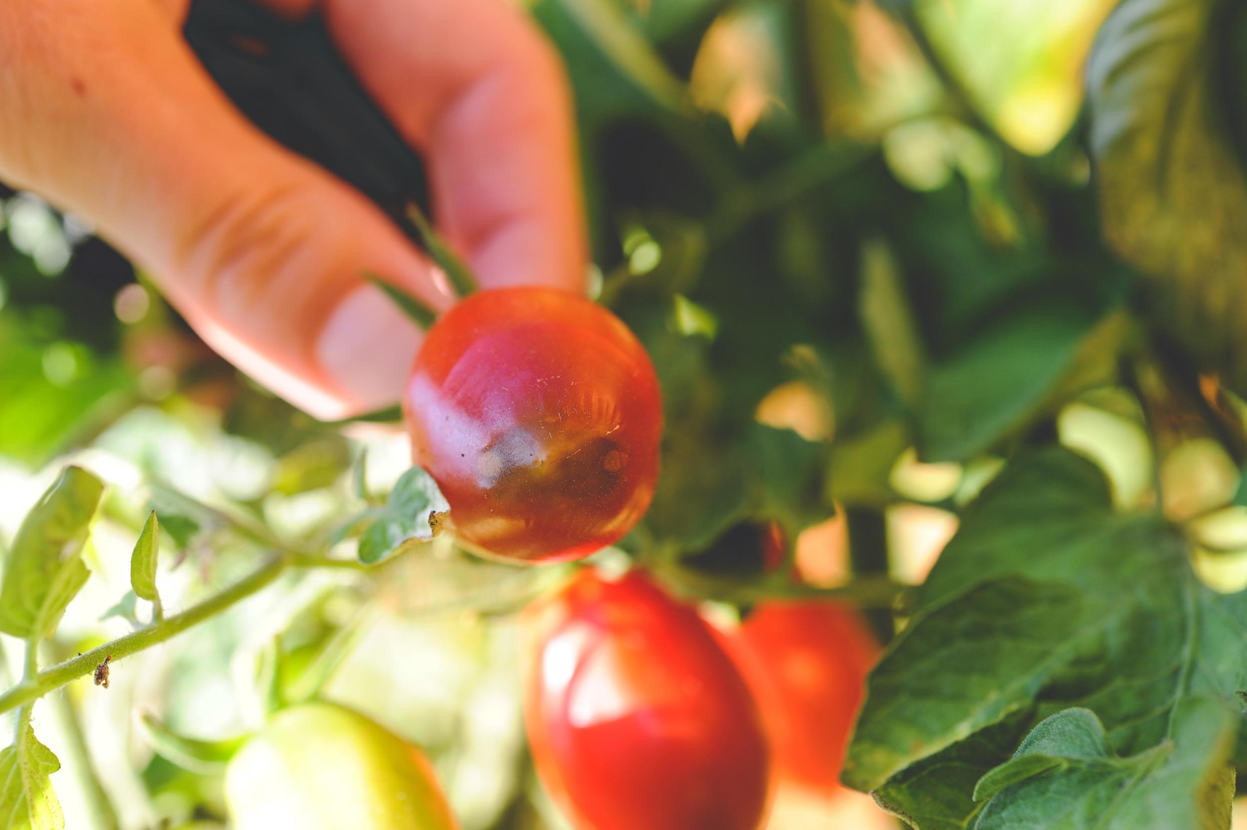 Blossom end rot_Seattle Urban Farm Co.