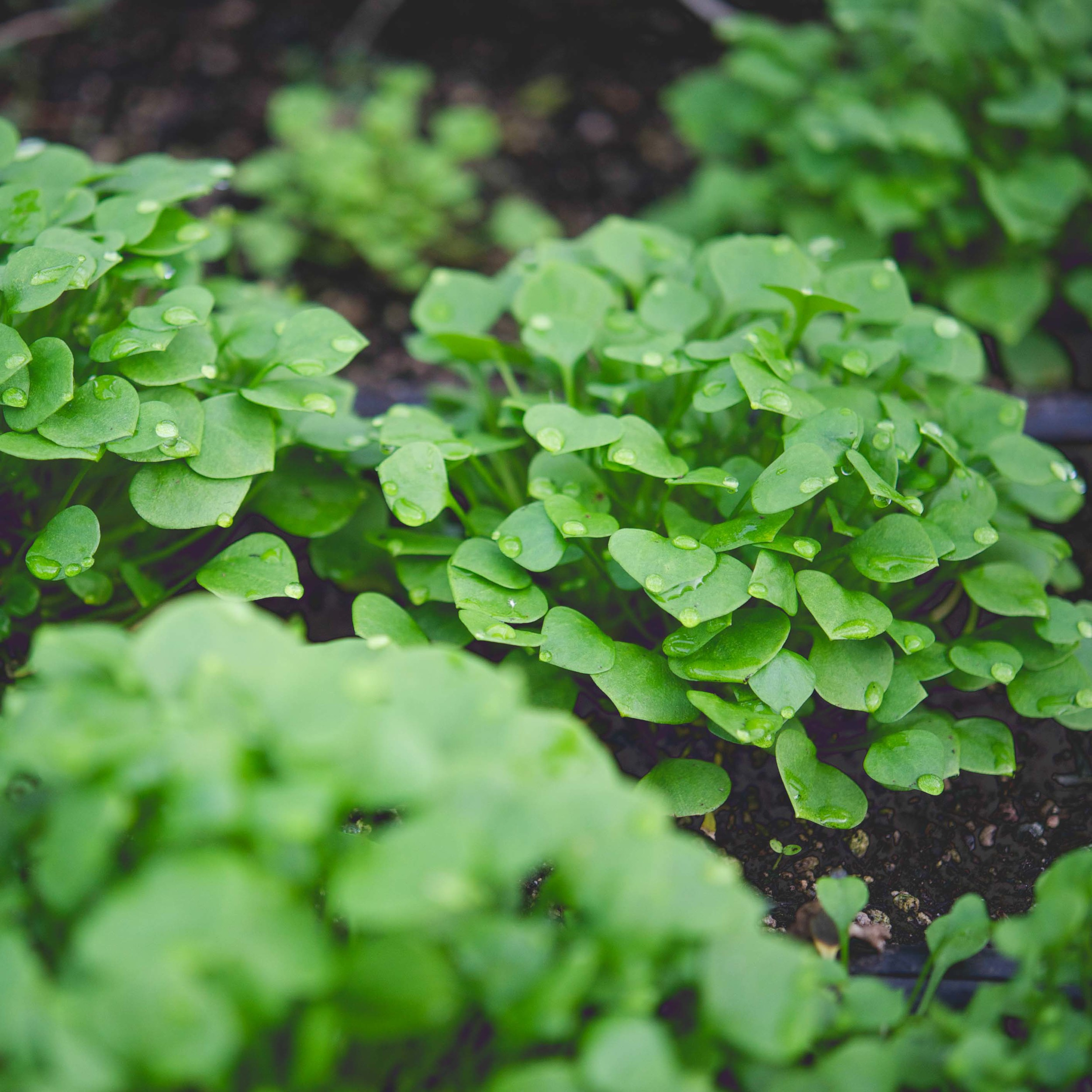 Claytonia   Claytonia*  //  Hardiest of the winter salad greens, can tolerate moderate frost and can be grown all winter in mild regions.