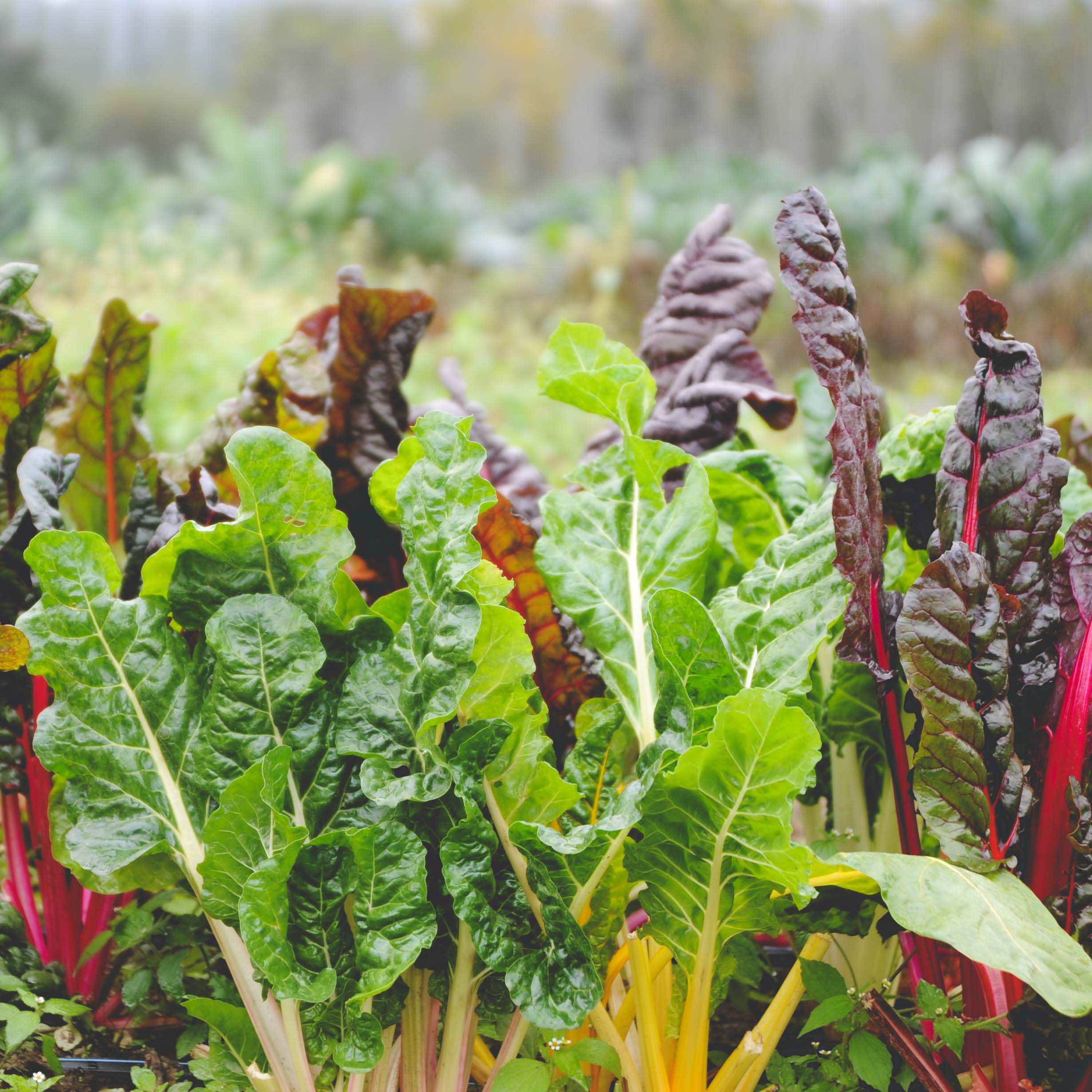Chard   Bright Lights* and Fordhook  //  Cold tolerant to about 20° F. Can survive the winter and produce new growth in early spring.