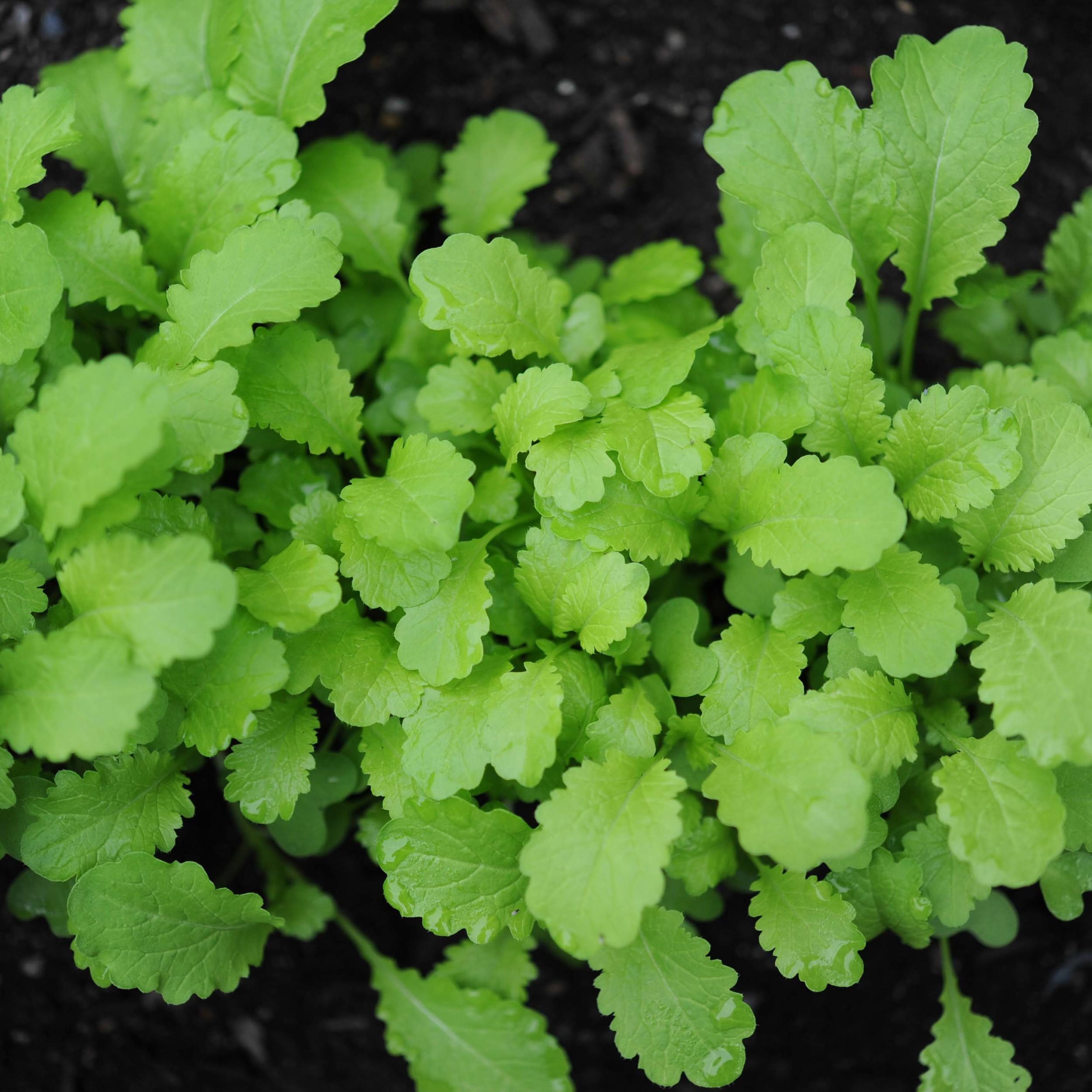 Mustards    Green Frills*, Green Wave, Ruby Streaks  //  All varieties are frost tolerant