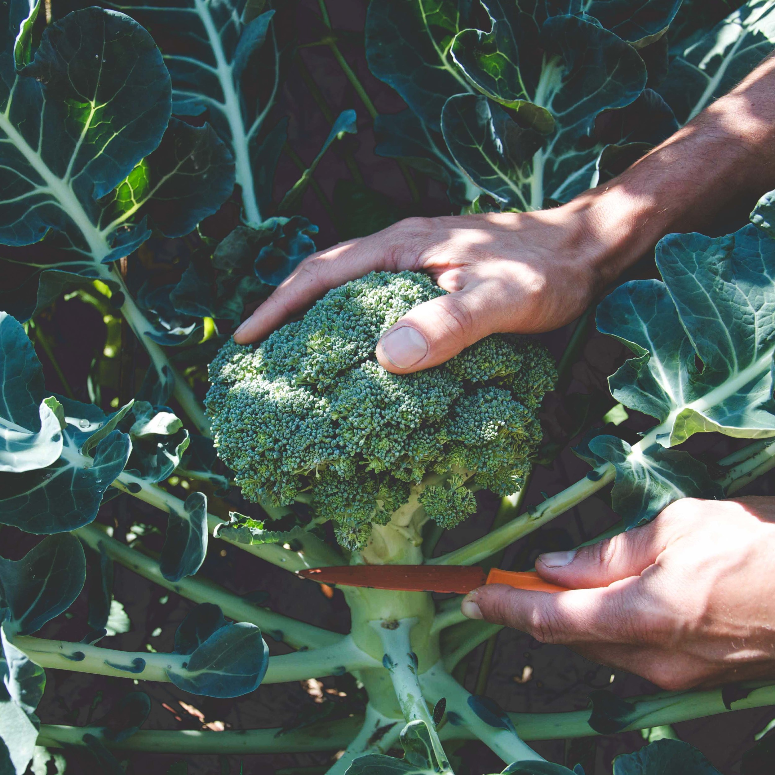 Broccoli    Bay Meadows* and Arcadia  //  Frost tolerant and will overwinter in mild climates. Overwintered crop may produce florets in early spring. Must be transplanted into gardens by mid-September in the Pacific Northwest.