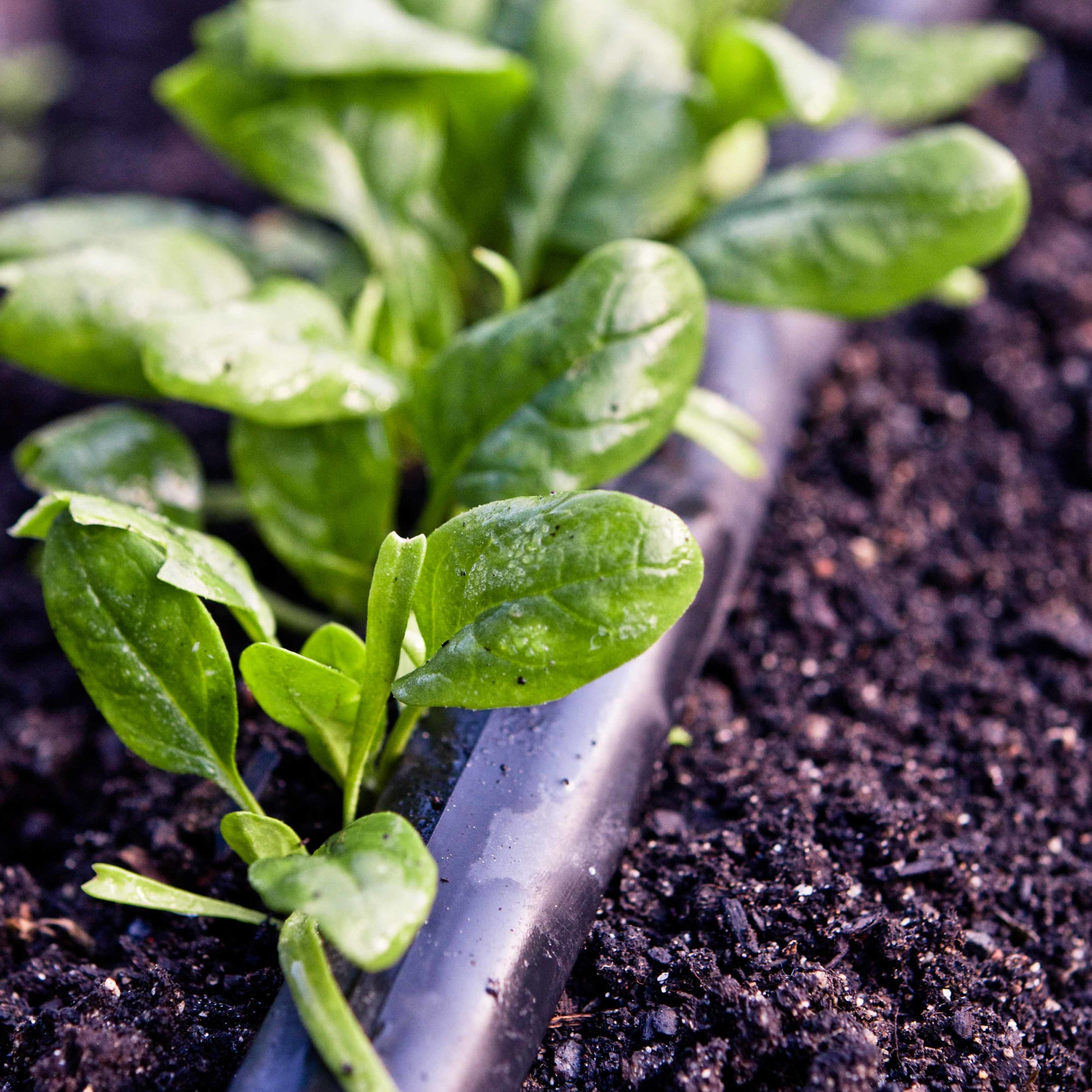 Spinach    Bloomsdale and Regiment*  //  All varieties do very well in cold weather and can tolerate temperatures as low as 20° F.