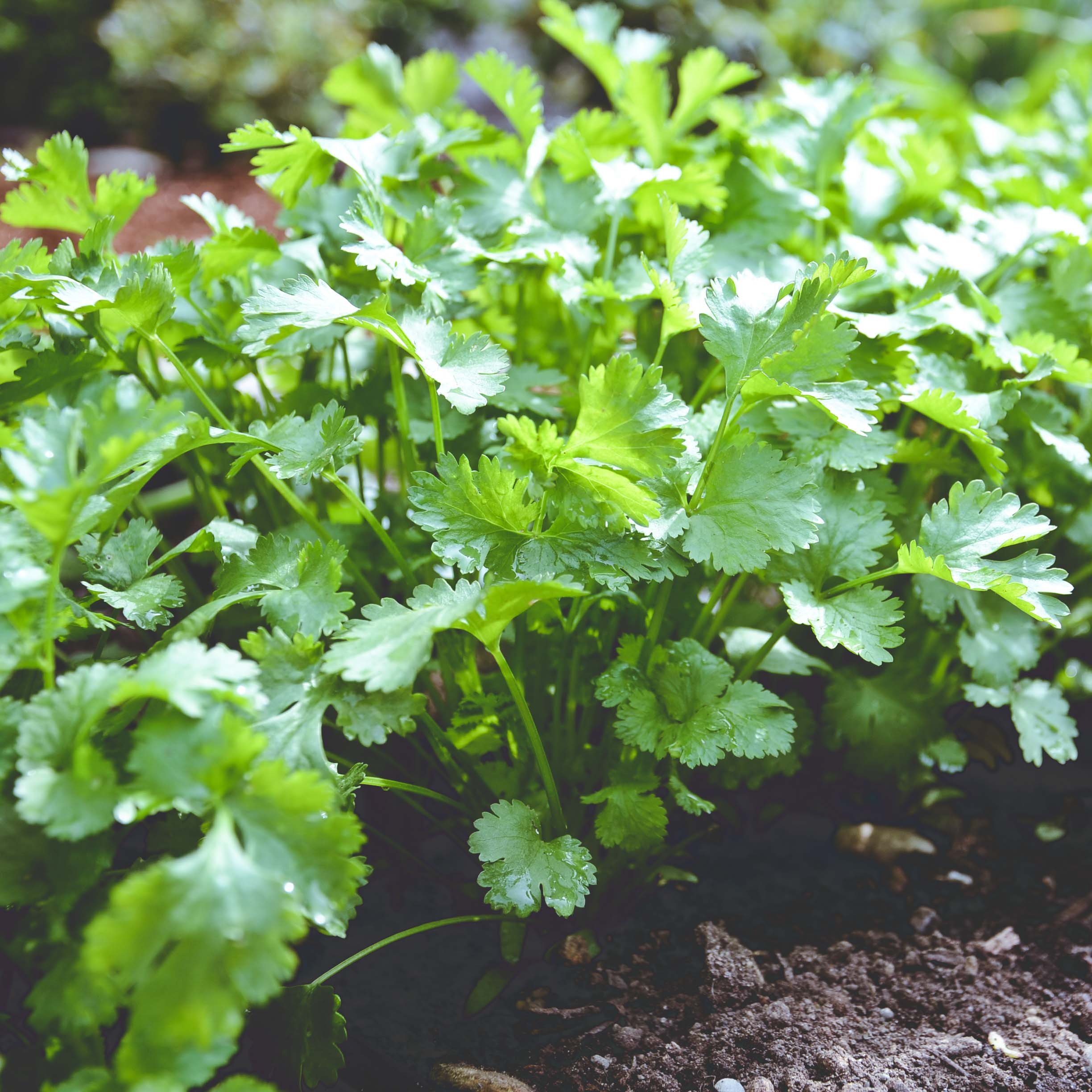Cilantro    Calypso*  //  Cilantro is a hardy fall crop but is not frost tolerant. If temperatures dip into the 30's, the leaves will start to loose their color, flavor and texture.