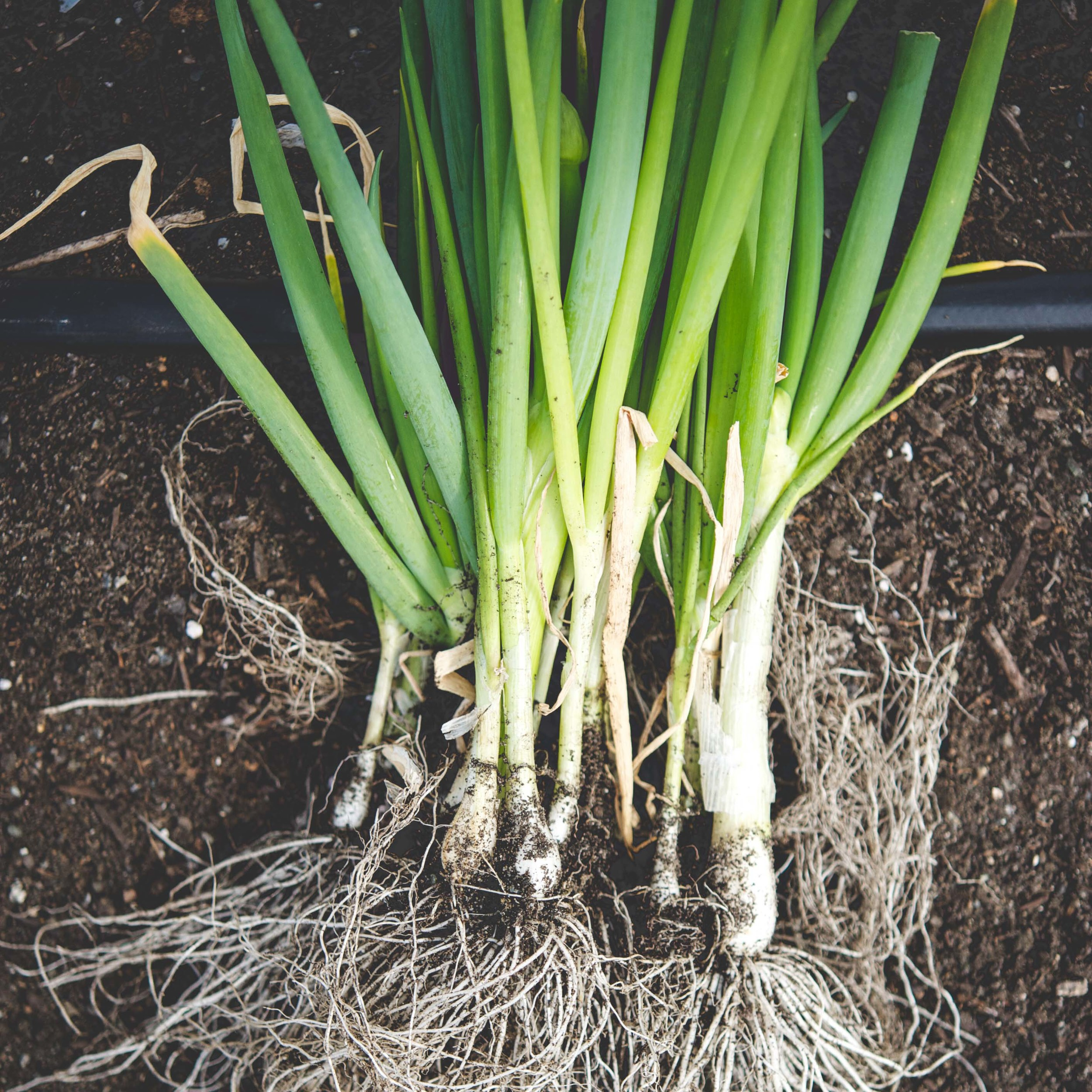 Scallions   Evergreen Hardy White*  //  Scallions are extremely cold hardy and will easily overwinter in climates where temperatures dip below 10° F.