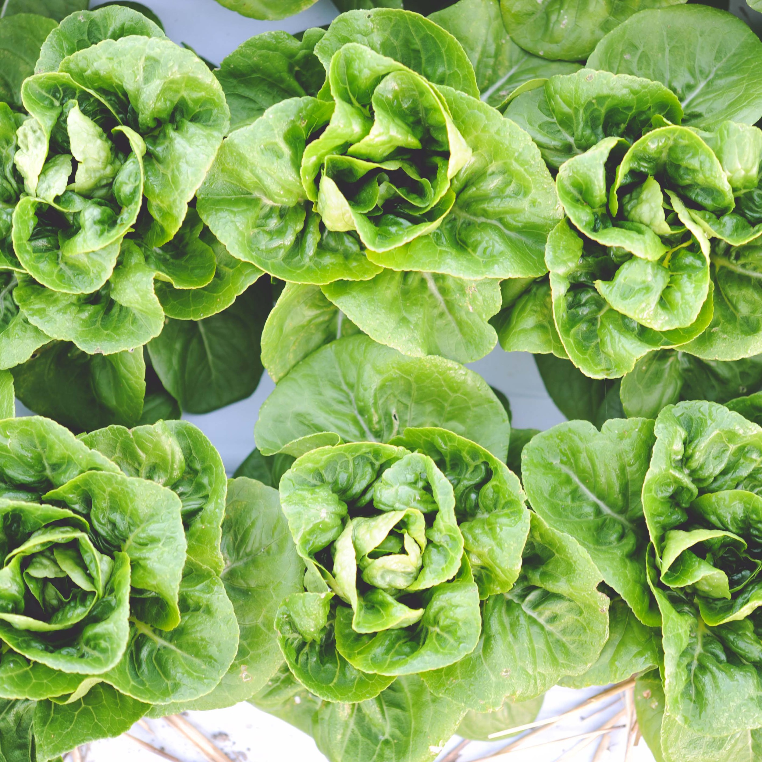 """Lettuce   Nancy butterhead, Winter Density romaine*, Rhazes red gem.   //  Considered a """"cool weather crop"""", lettuce grows very well in the fall but will not withstand frost. Harvest uncovered plantings before temperatures dip below 35° F."""