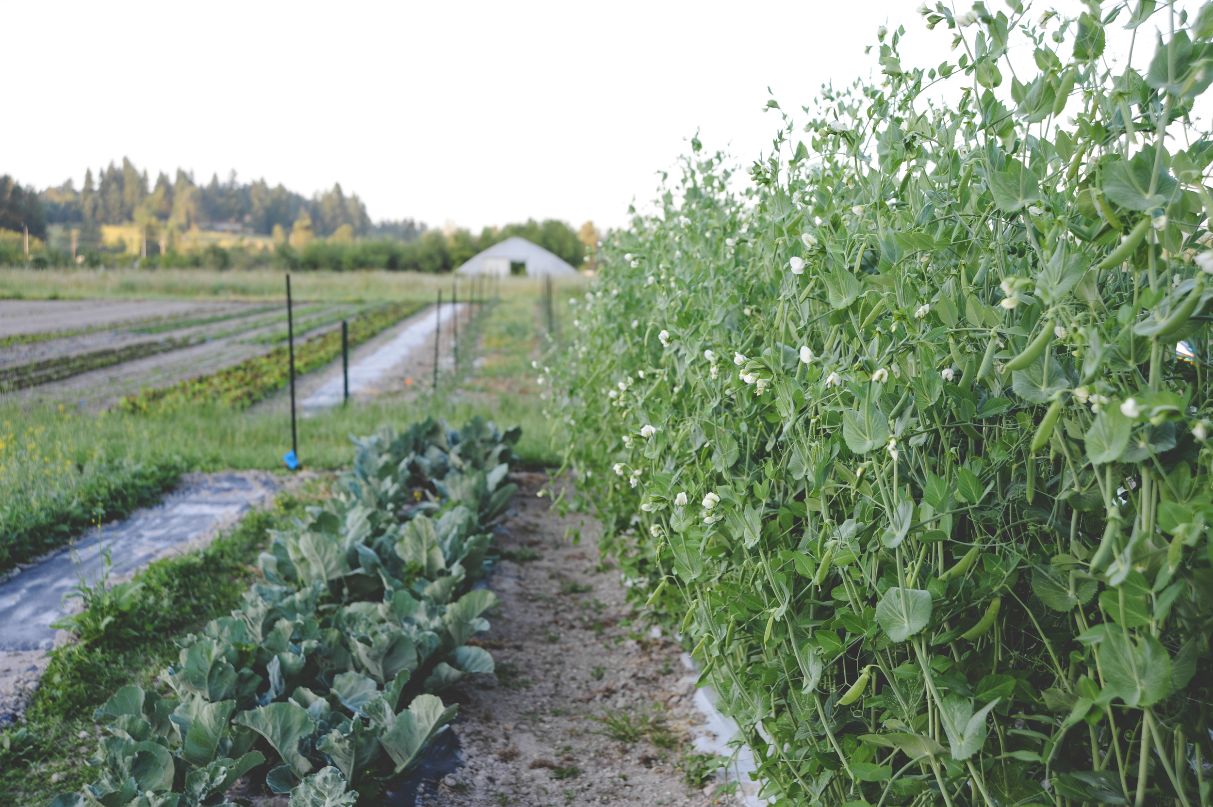 Peas and Cabbage_Farm.jpg