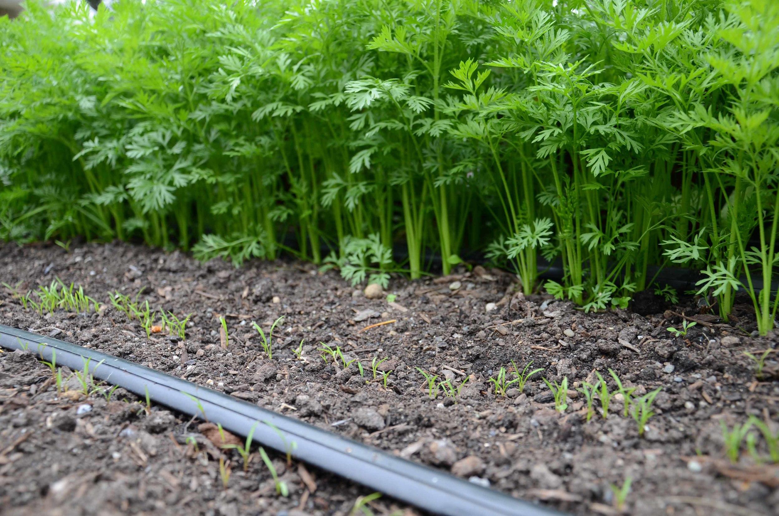 Succession Planting Carrots