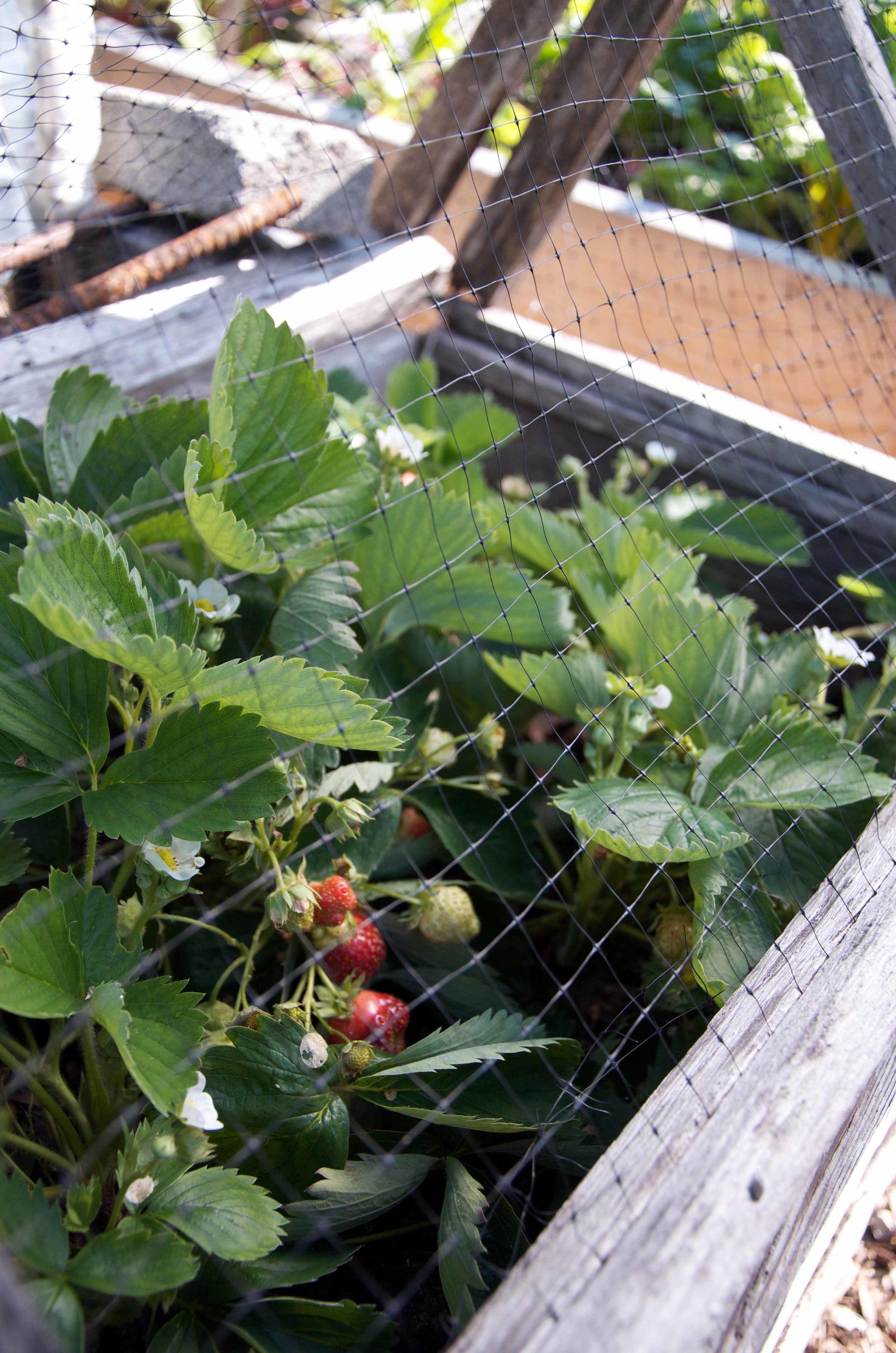 Strawberry Bird Netting.jpg