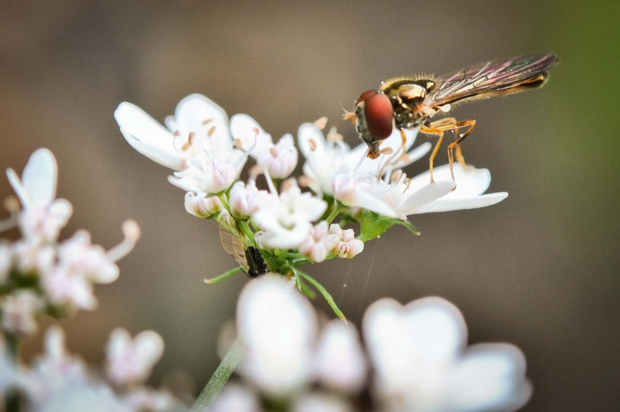 Trichogramma wasp/Parasitic wasp
