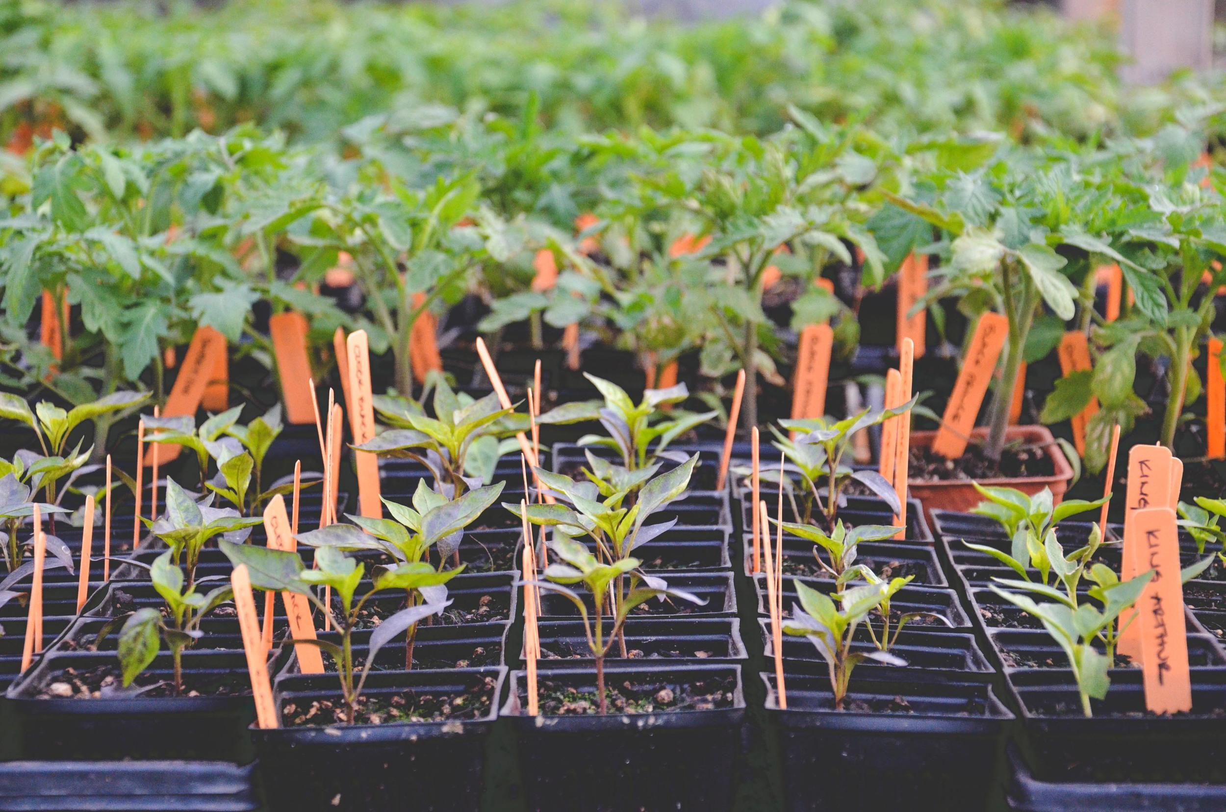 Buying Healthy Vegetable Transplants_Seattle Urban Farm Co.