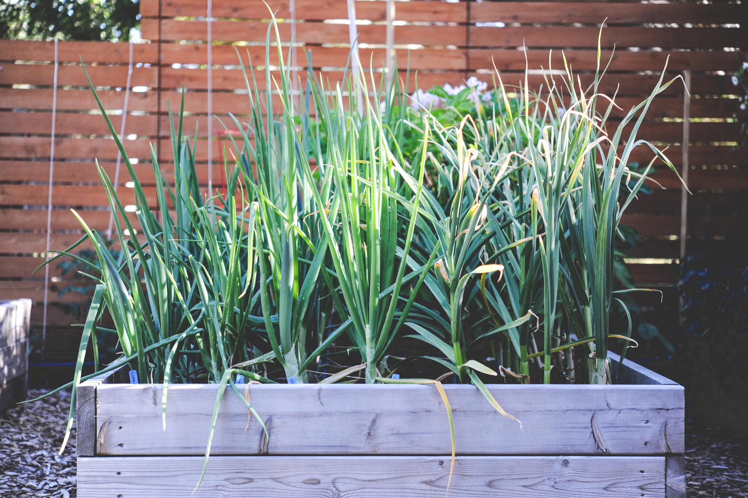 Onions and Garlic_Seattle Urban Farm Co.