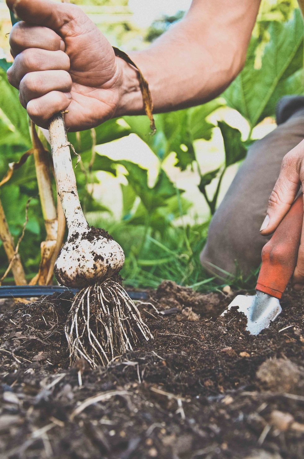 Harvest garlic and onions by lifting the entire plant.