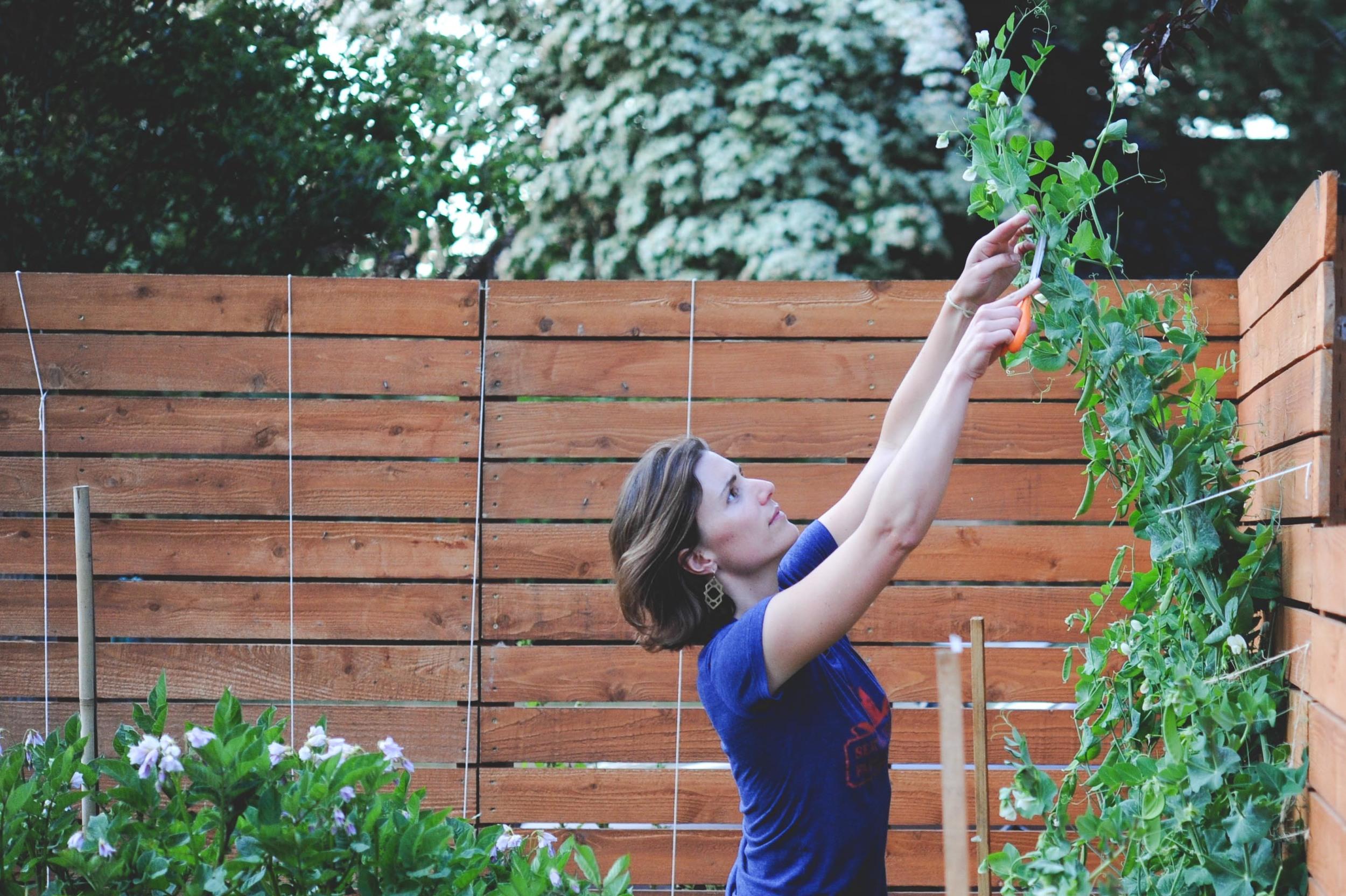 Hilary Dahl_Trimming Peas_Seattle Urban Farm Co.