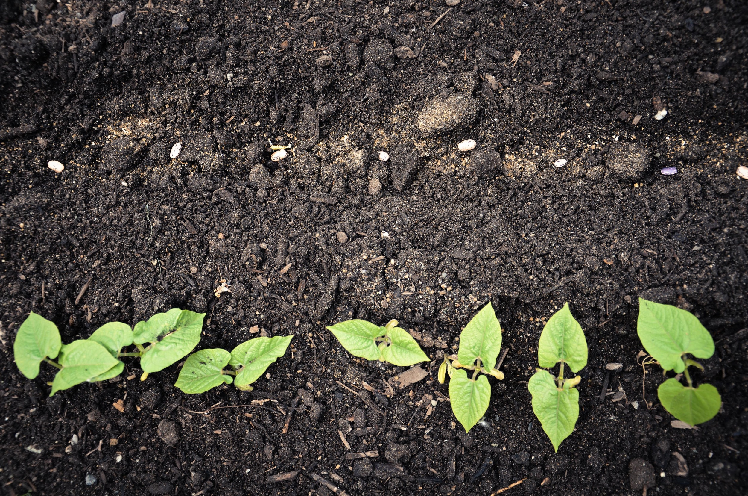 Planting Bush Beans_Seattle Urban Farm Co.