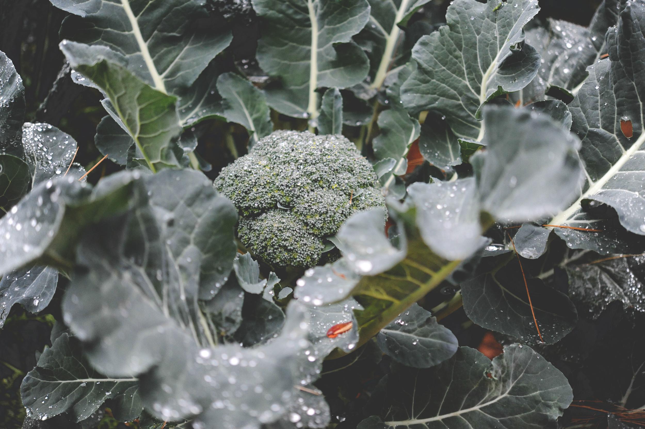 Bay Meadows Broccoli_Seattle Urban Farm Co.
