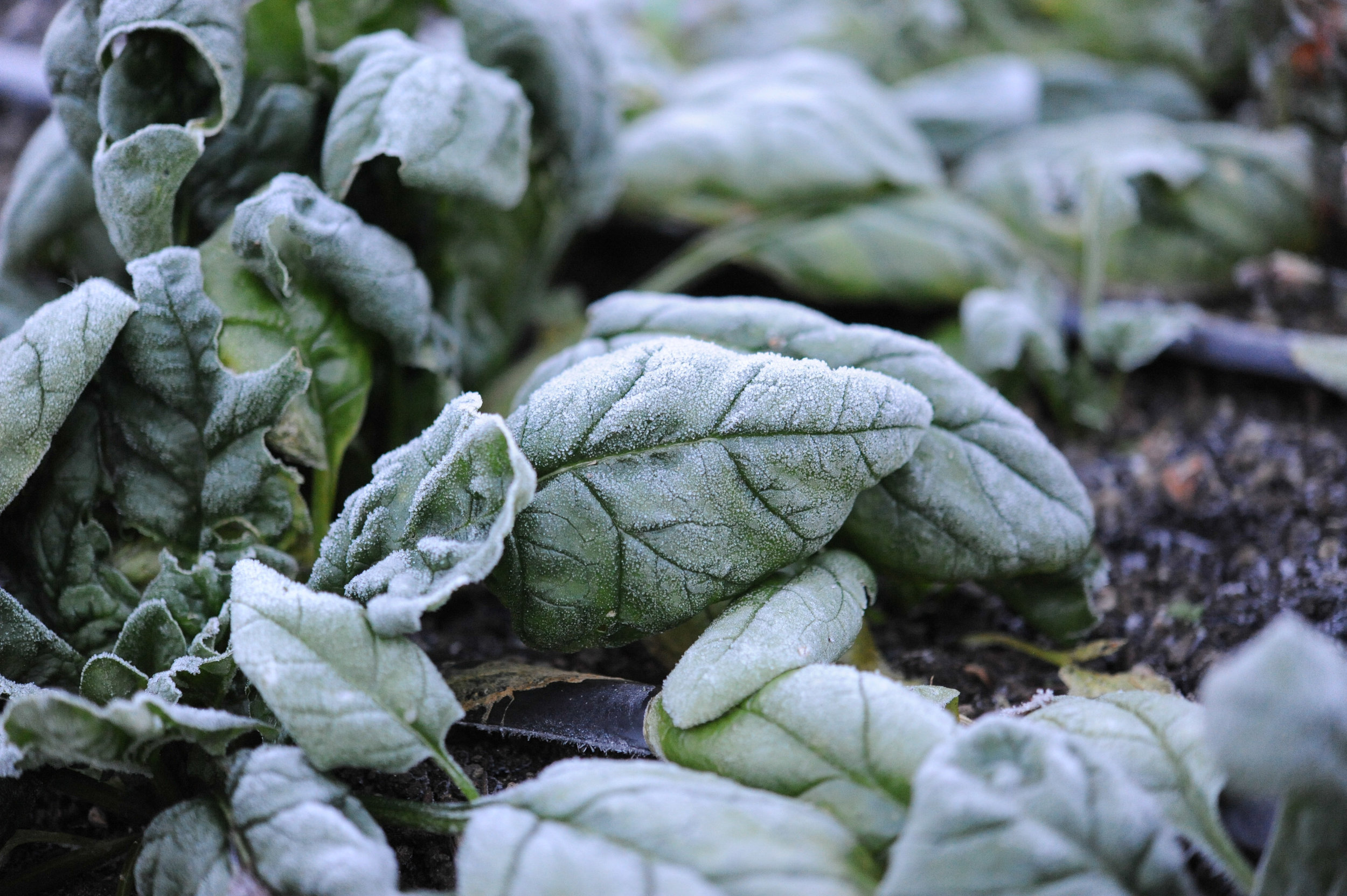 Cool Season Salad Greens_Hilary Dahl for Seattle Urban Farm Co.
