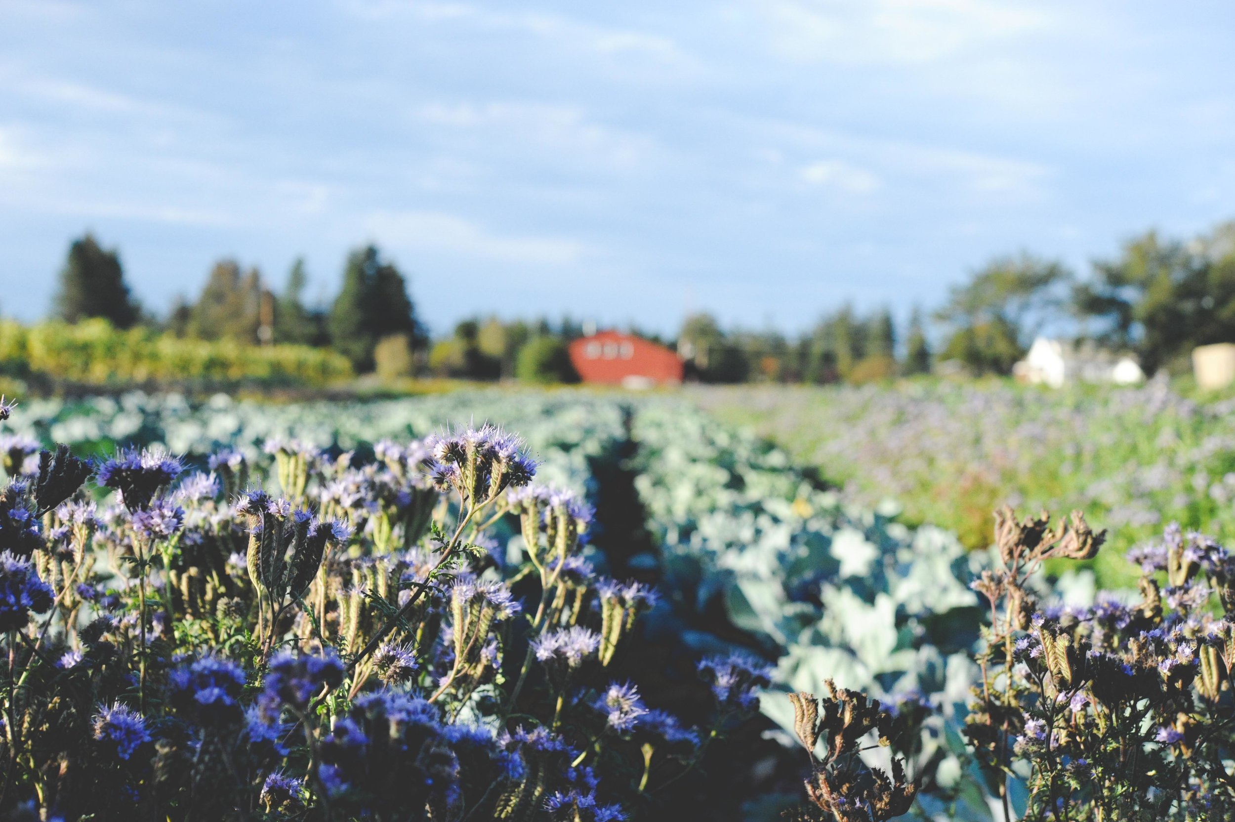 Phacelia tanacetifolia in front of the Brassica fields at the OSA test farm.