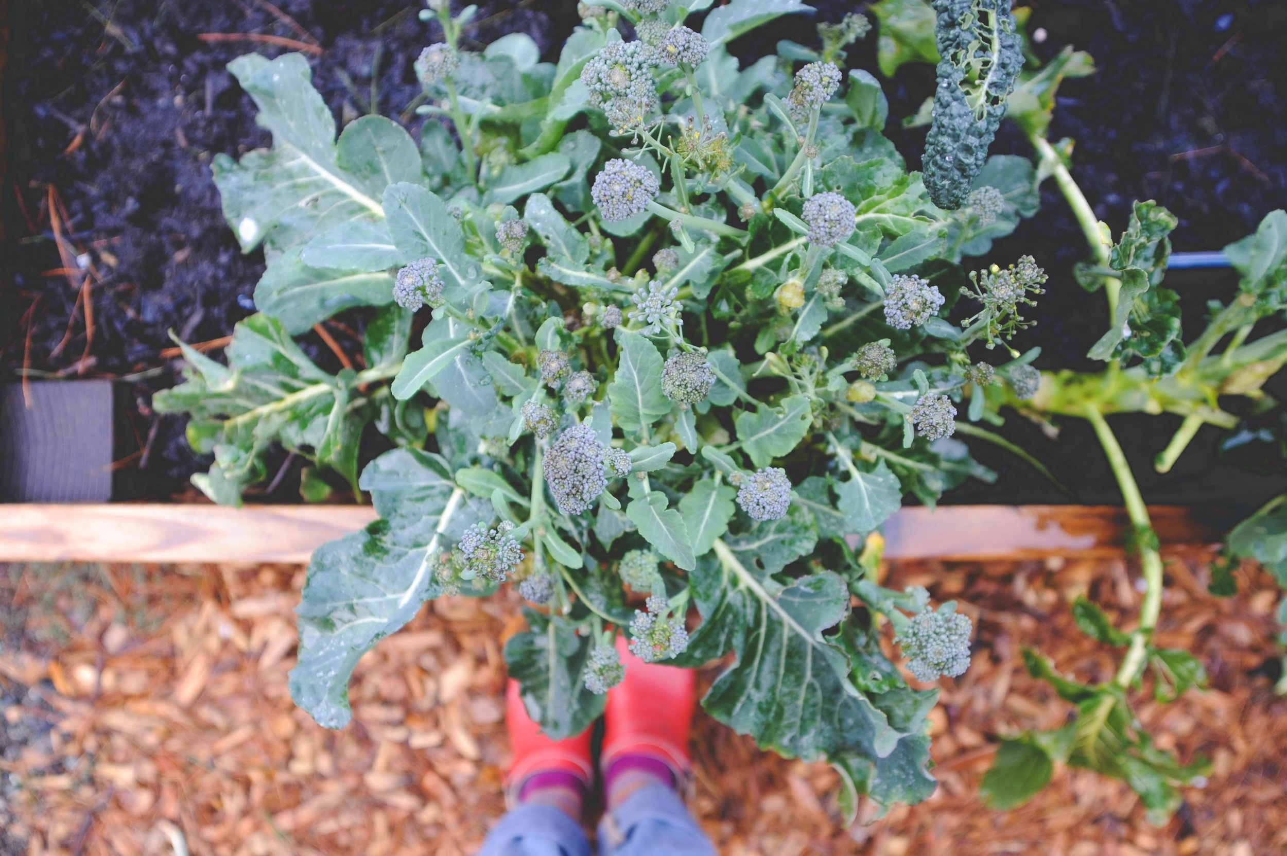 Over-wintered broccoli in early March. The plant was surrounded with compost and the empty spaces in the garden were covered in compost.